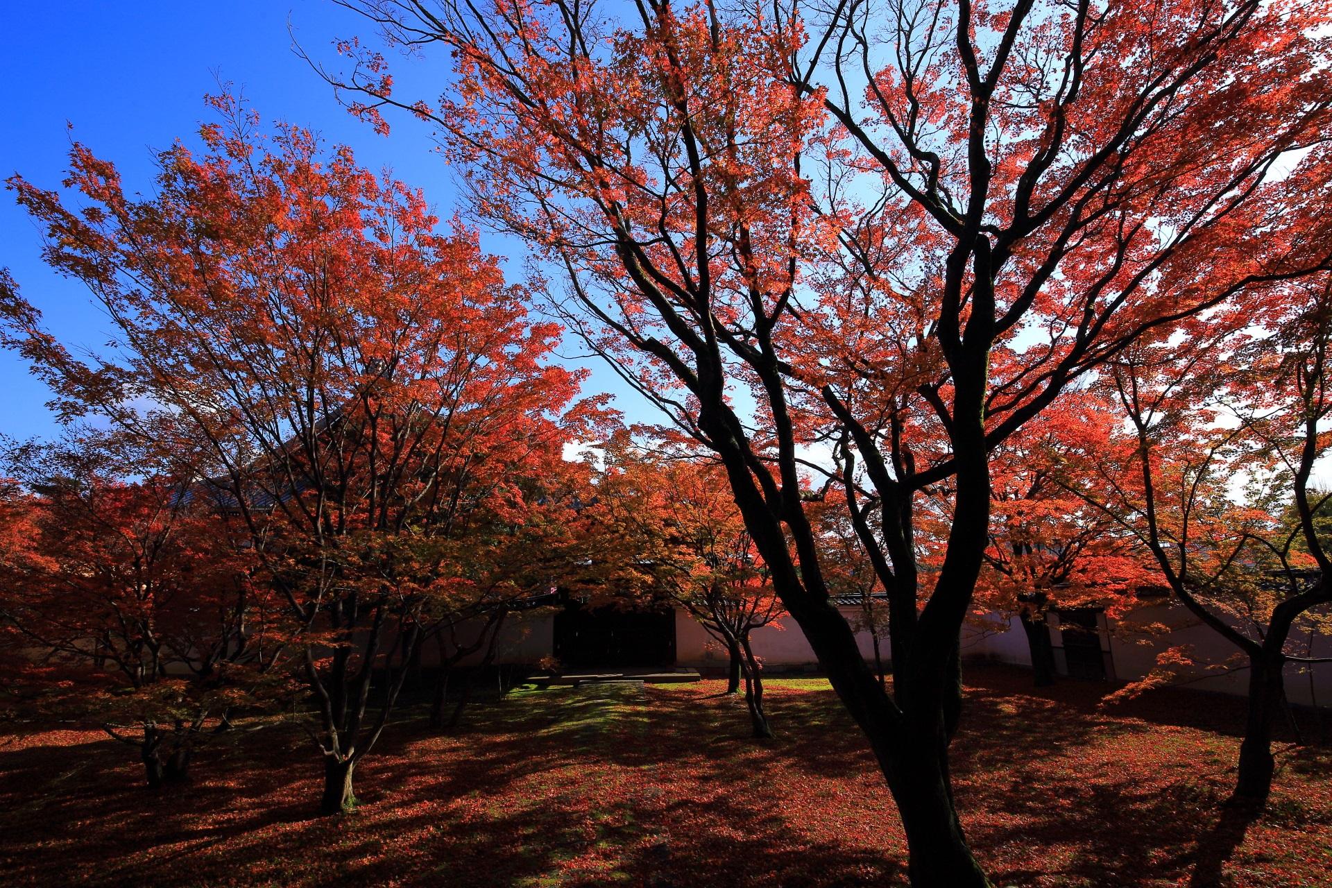青空の下の妙覚寺の煌く華やかな紅葉