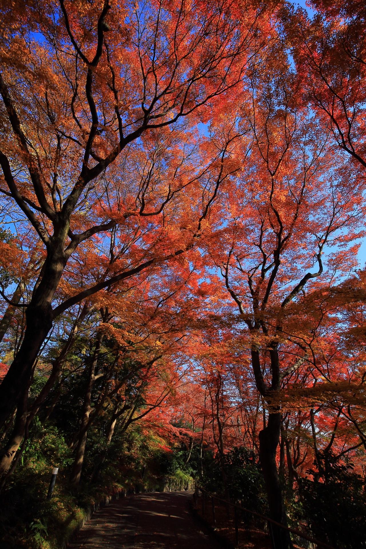 青空を豪快に彩る雄大な紅葉