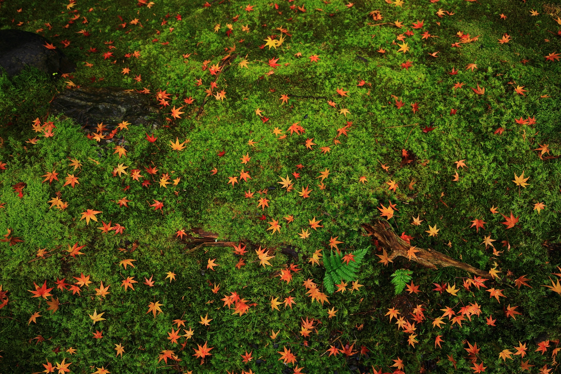 桂春院のふかふかの苔を染める星のような散りもみじ