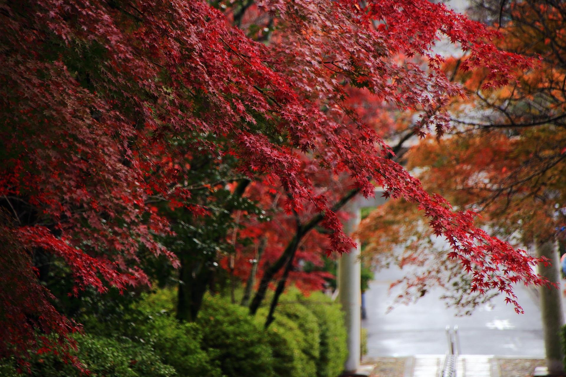 濃く色づいた鮮やかな赤色の紅葉