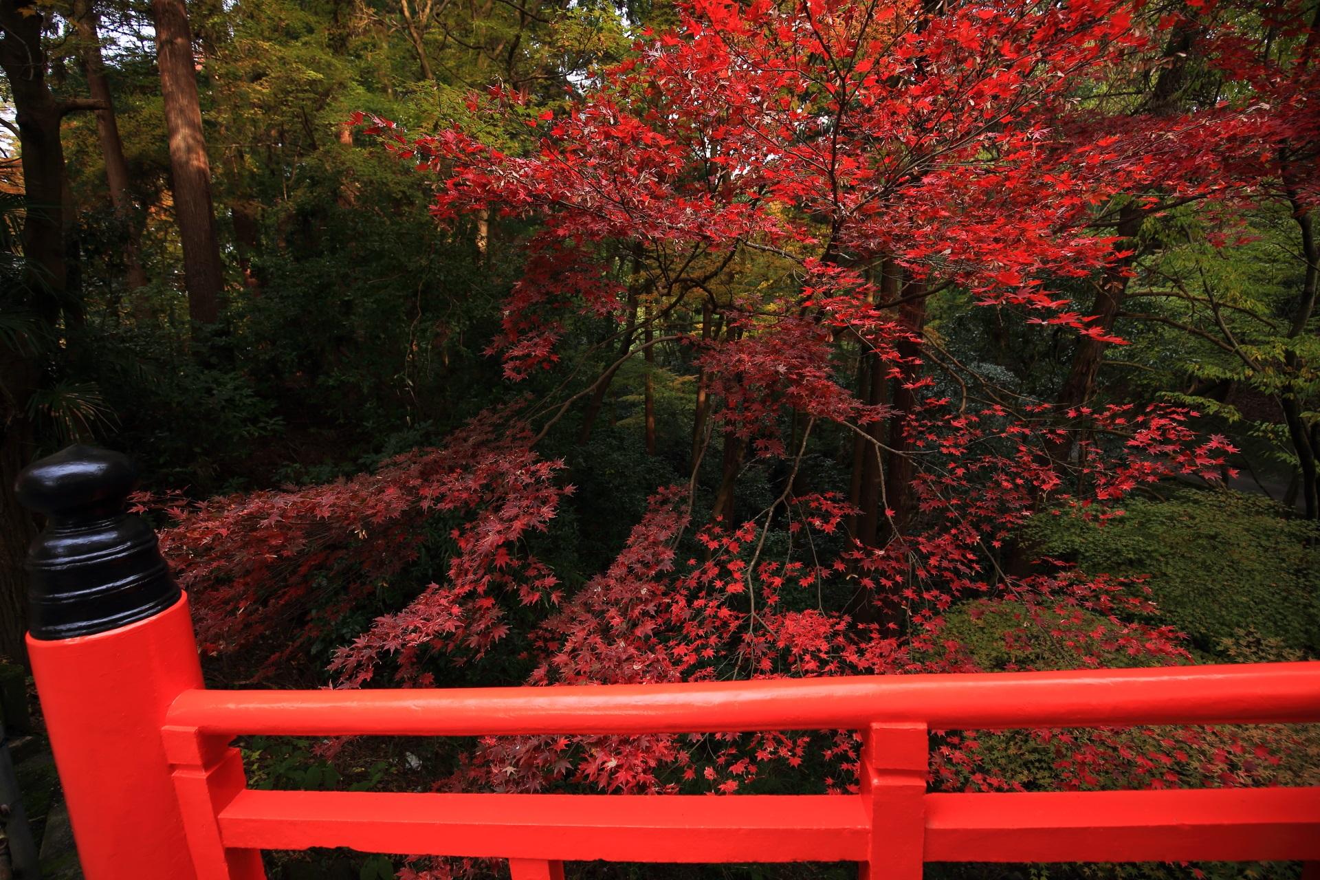 鳥居橋の上から眺めた赤く色づいた紅葉