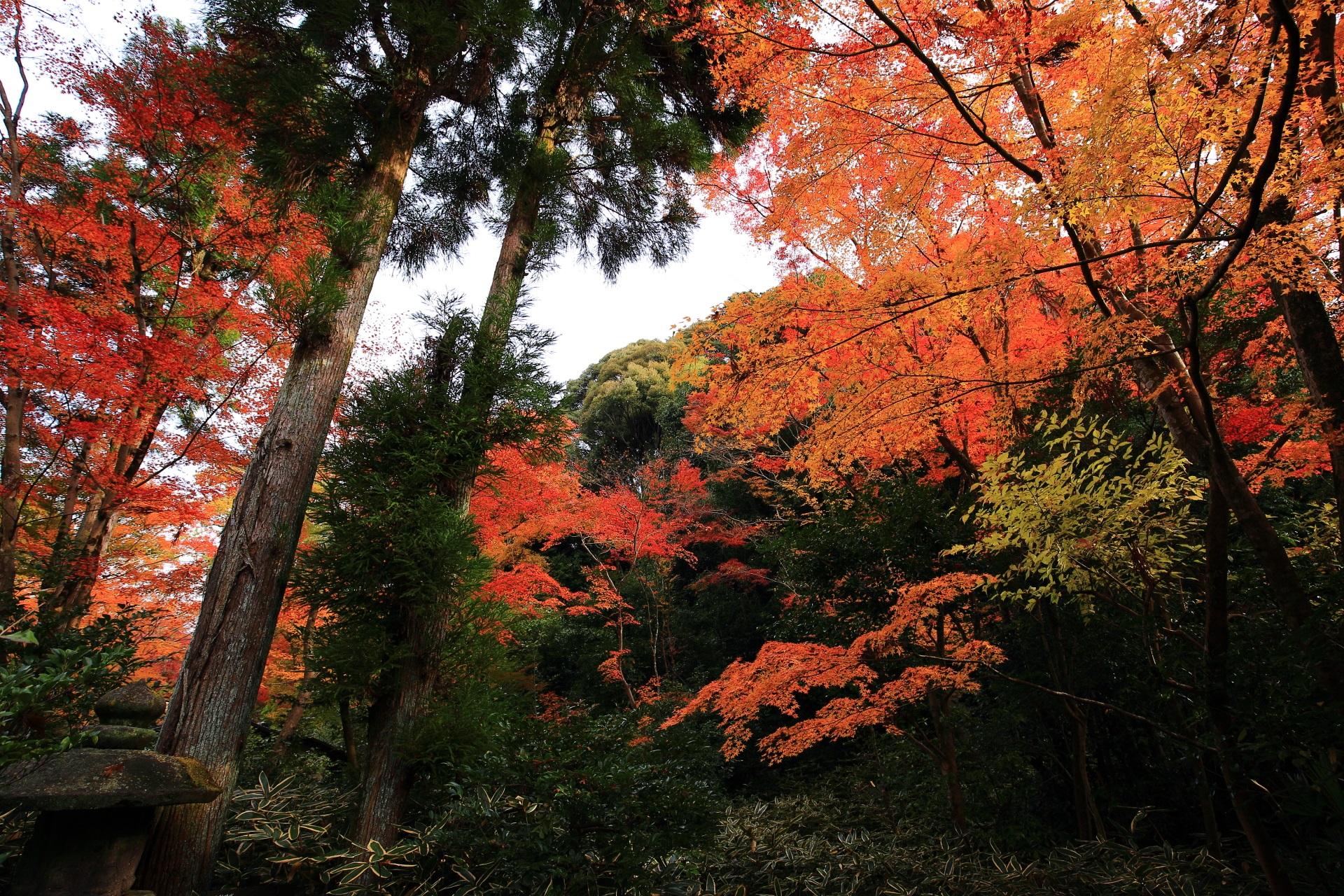 来迎院含翠庭の空を覆う雄大で暖かな紅葉