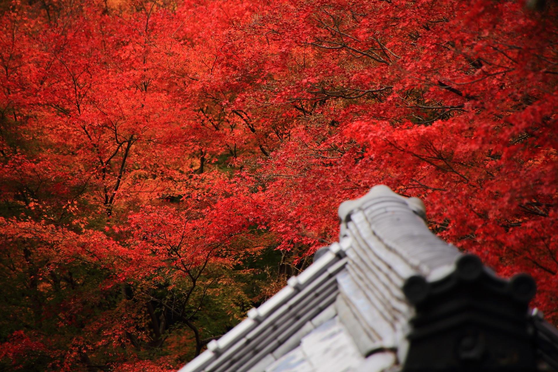極上の真っ赤な紅葉につつまれる来迎院の本堂