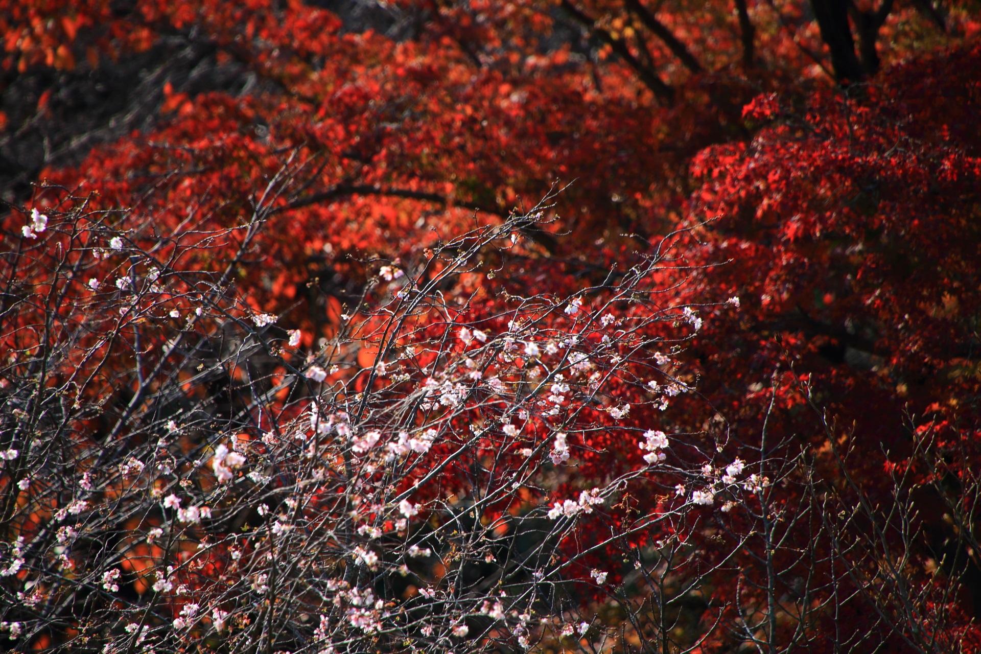 真っ赤な紅葉を背景にした秋に咲く淡いピンクの寒桜