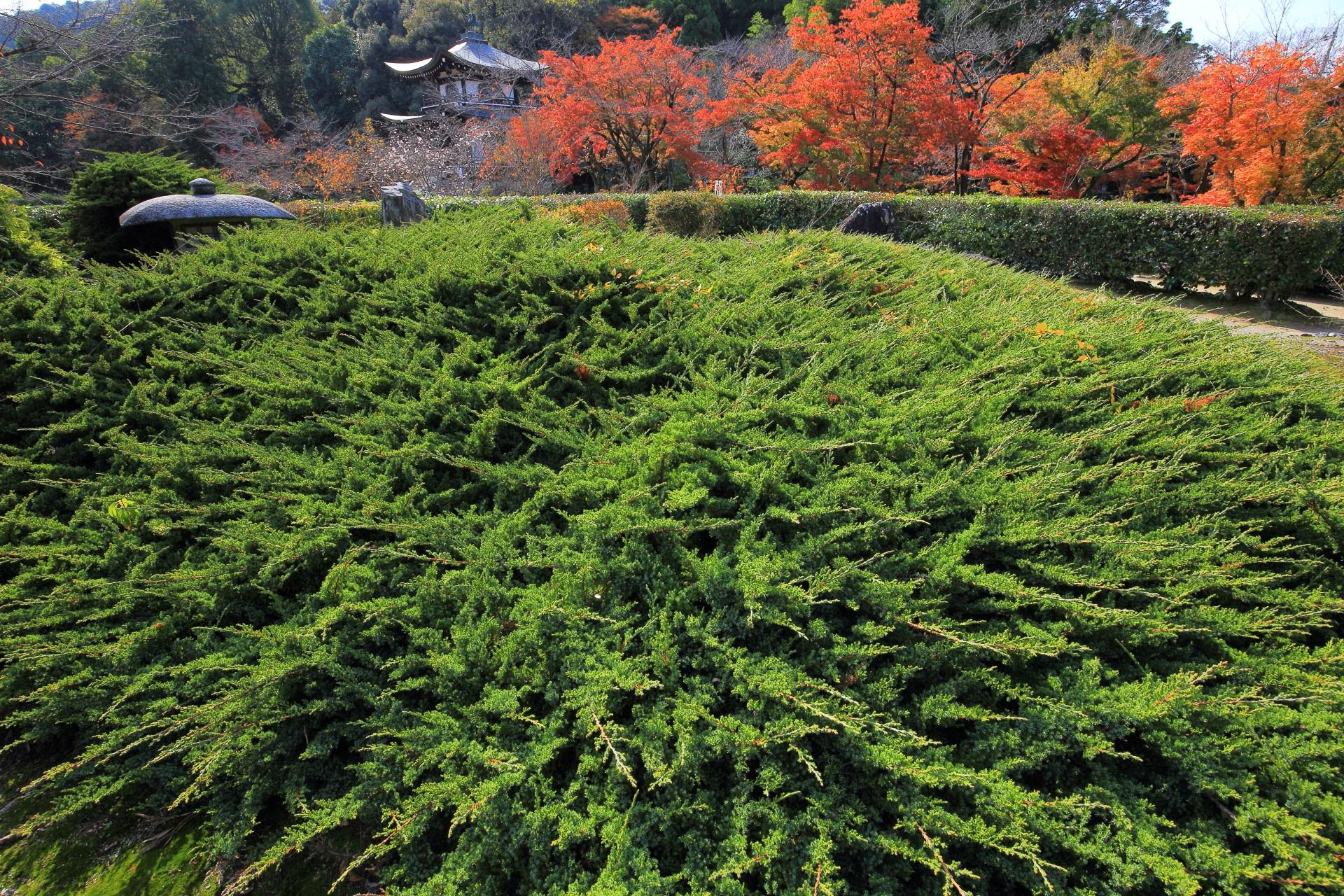 緑のハイビャクシンと赤やオレンジ色の紅葉と観音堂