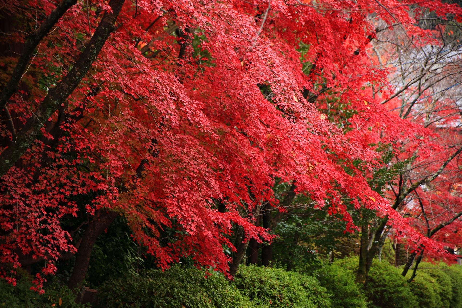 広がる美しい鮮やかな赤い紅葉