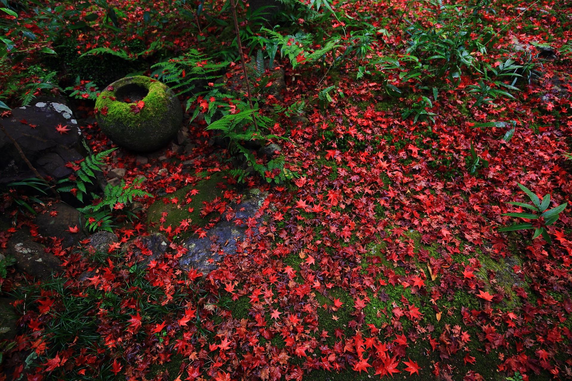 厭離庵 散りもみじ 圧巻の真っ赤な紅葉の絨毯