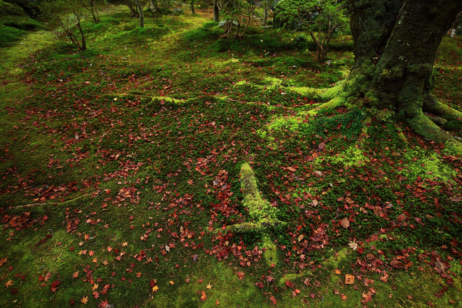 色合いや質感異なる霊鑑寺のたくさんの種類の苔