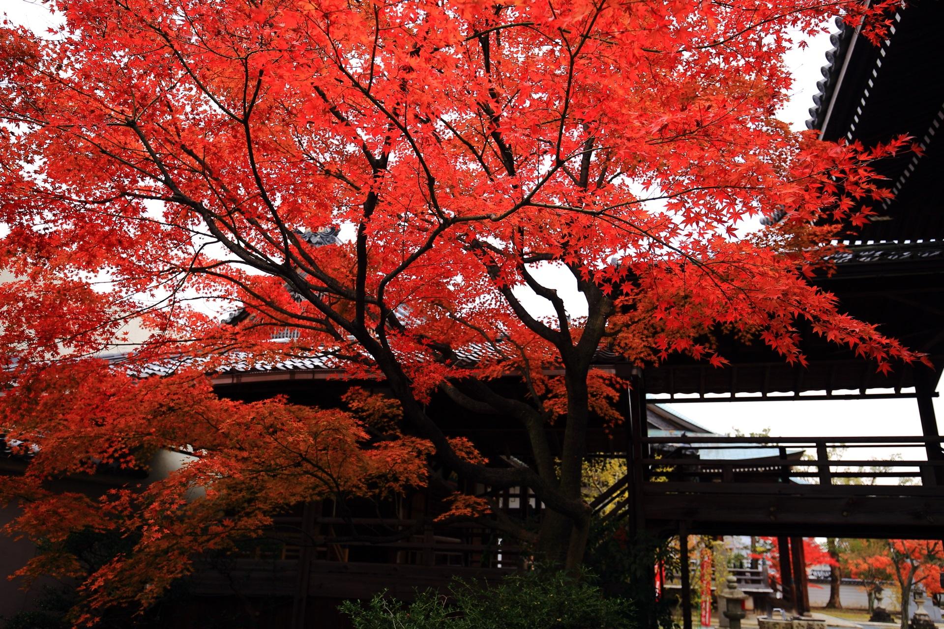 妙顕寺の静かな龍神廟を彩る真っ赤な紅葉