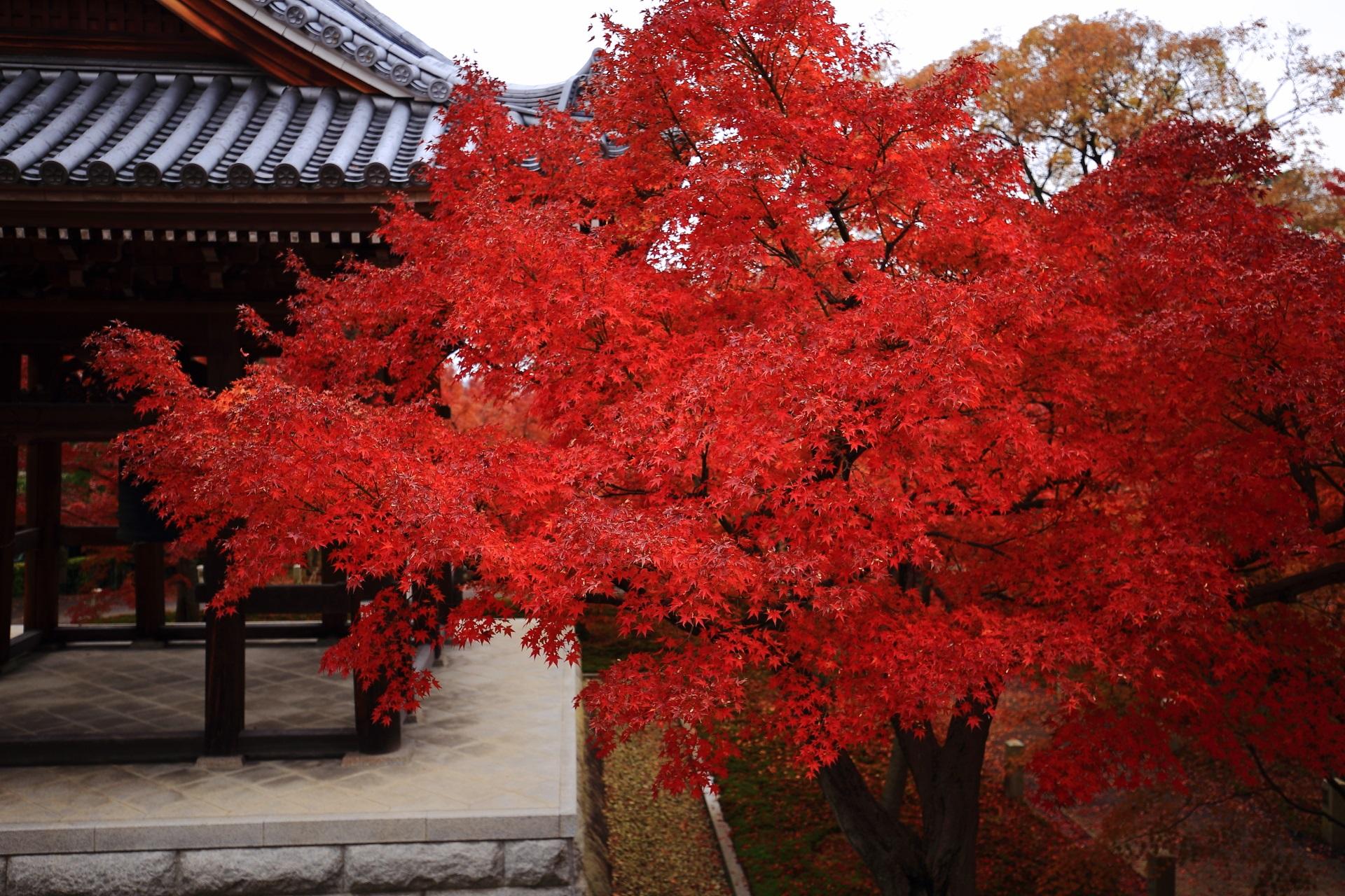 これ以上ない色づきの真っ赤な紅葉と智積院の鐘楼