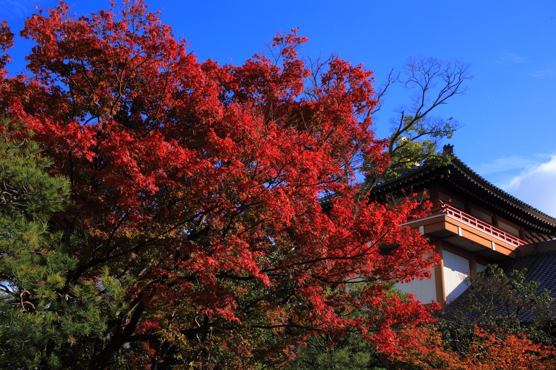 青空と本法寺の宝物館を彩る鮮烈な赤さの紅葉