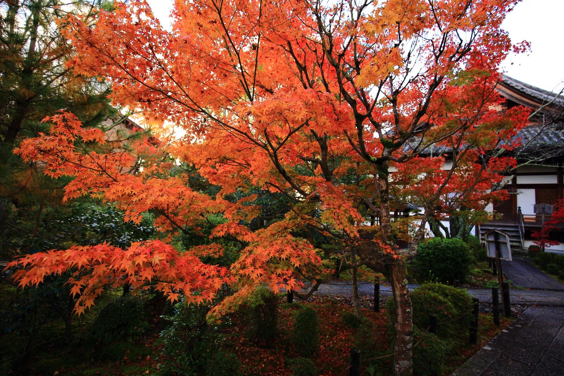 清涼寺の阿弥陀堂の鮮やかに色づく紅葉