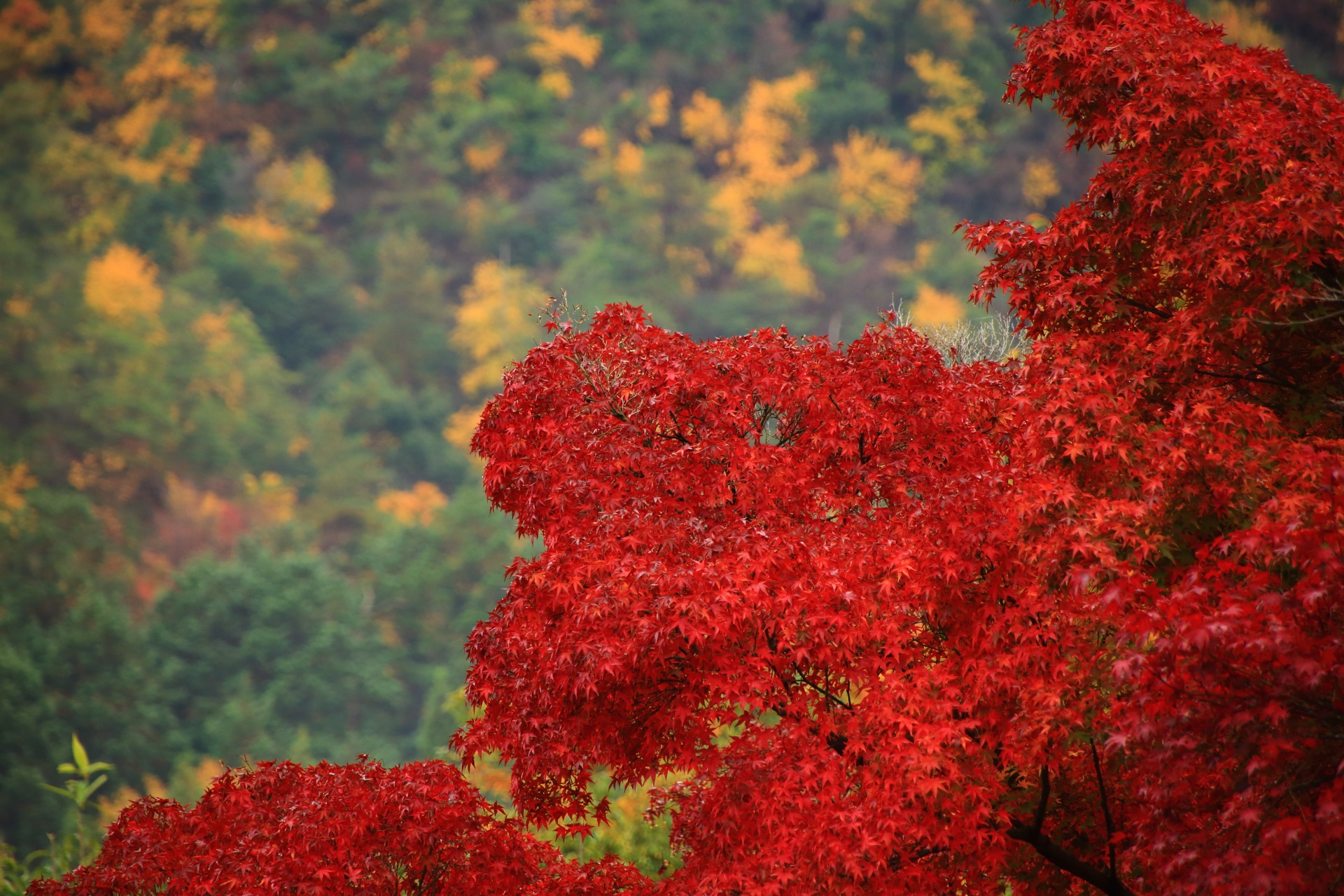 光悦寺の真っ赤な紅葉と秋の鷹が峰