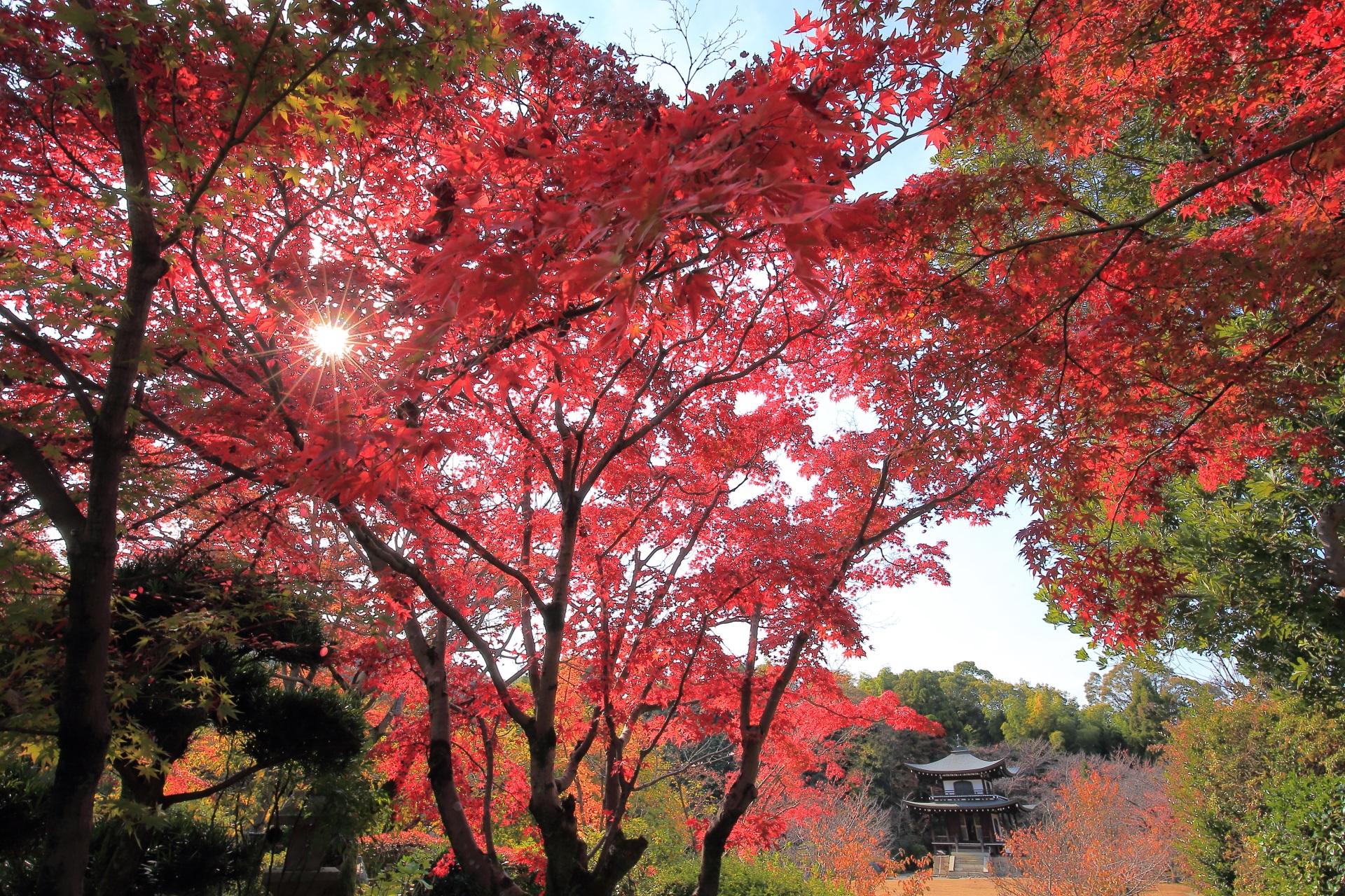 長閑で鮮やかな紅葉と寒桜