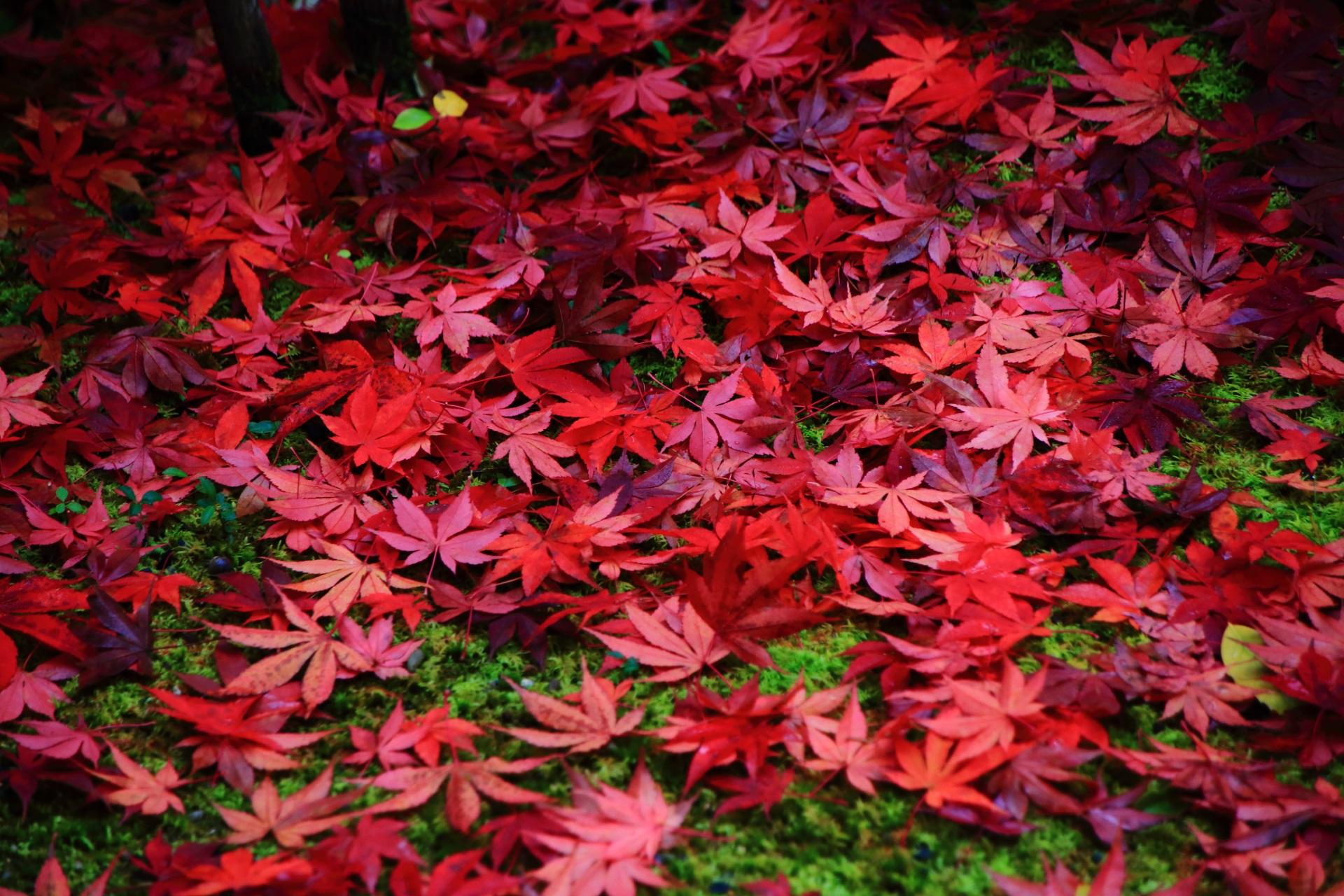 光悦寺 散り紅葉 京都鷹峯の風情ある秋の彩り