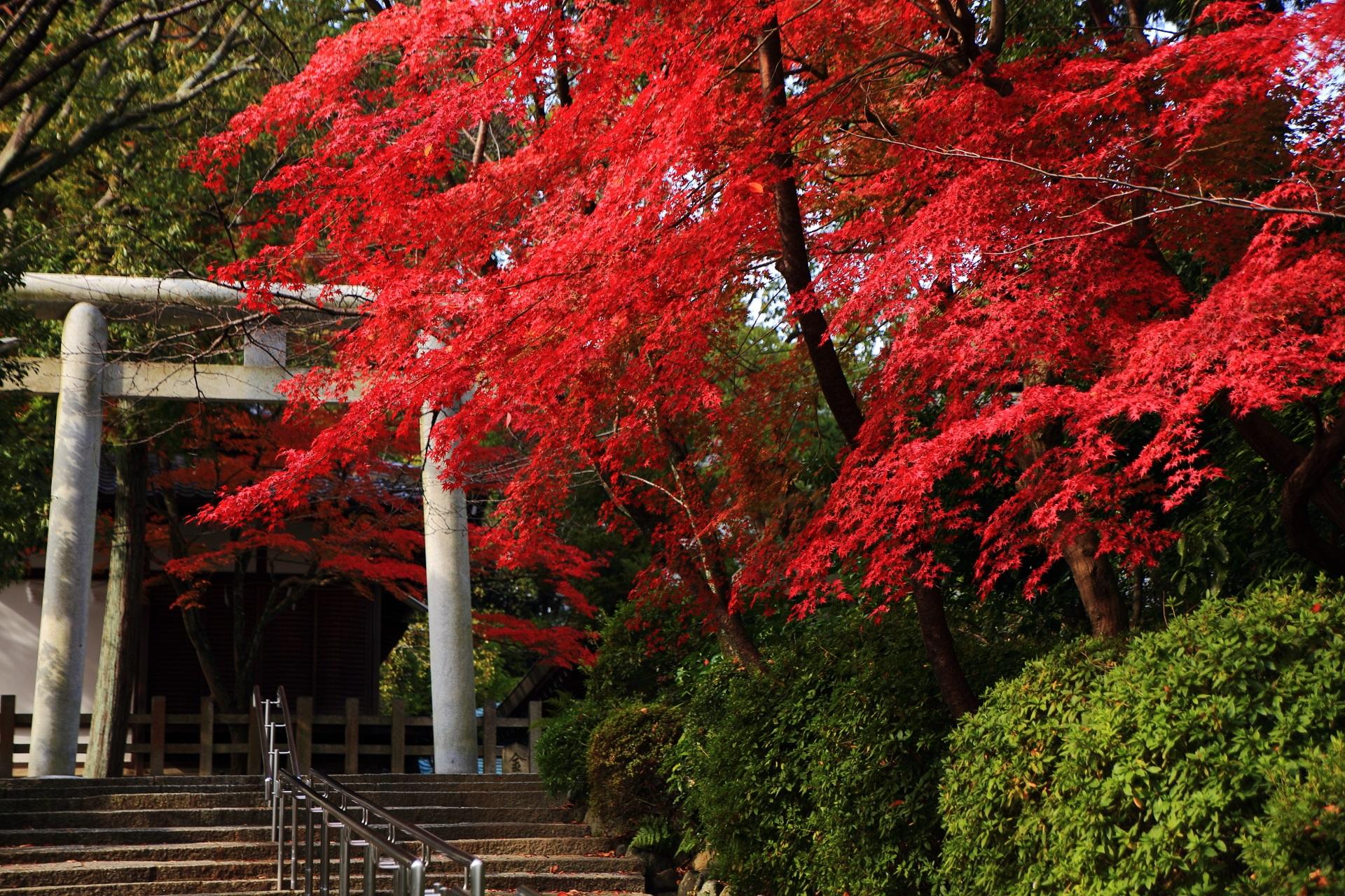 宗忠神社 紅葉 石段と鳥居を彩る鮮やかなもみじ