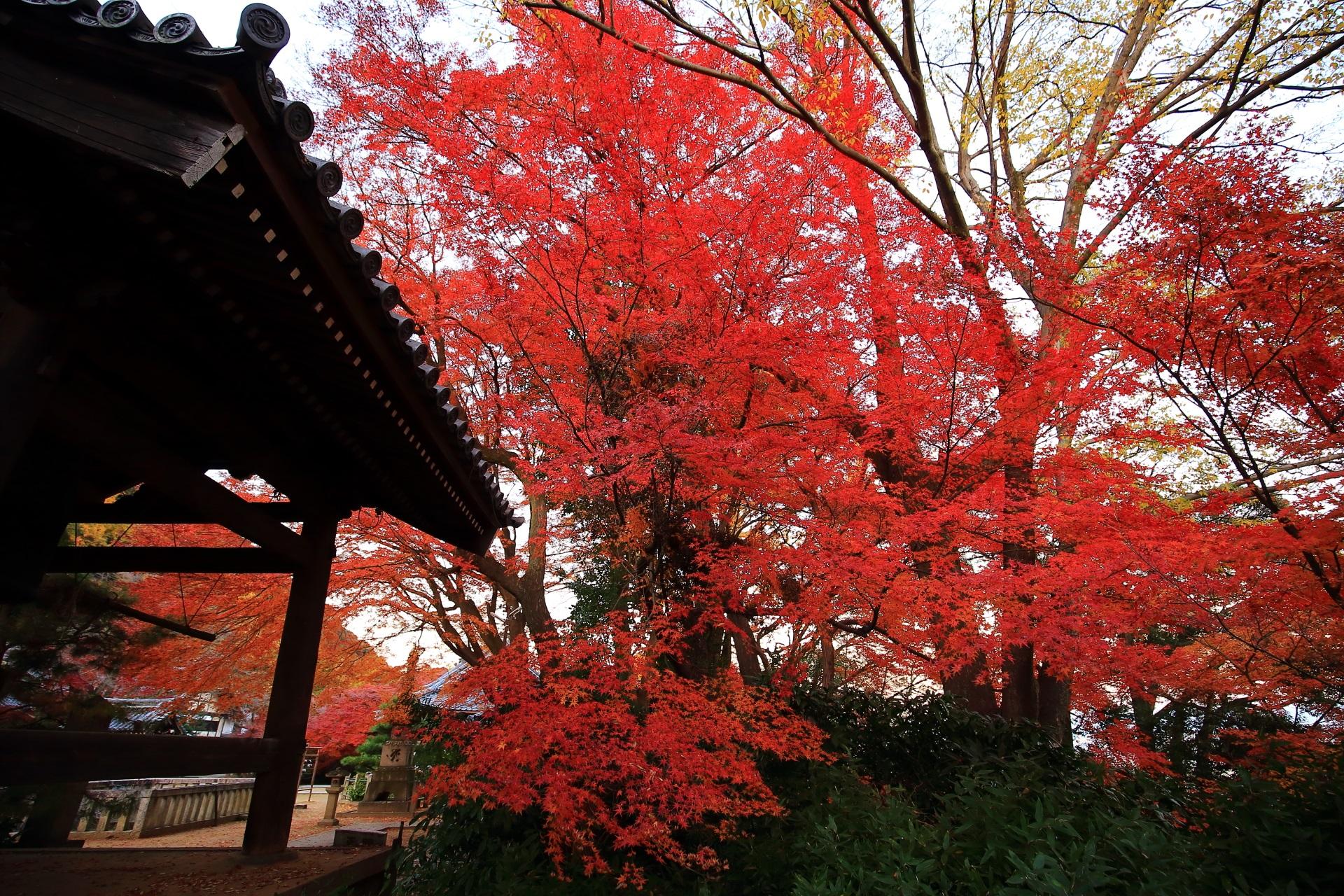 山崎聖天の鐘楼横の豪快に色づく鮮やかな紅葉