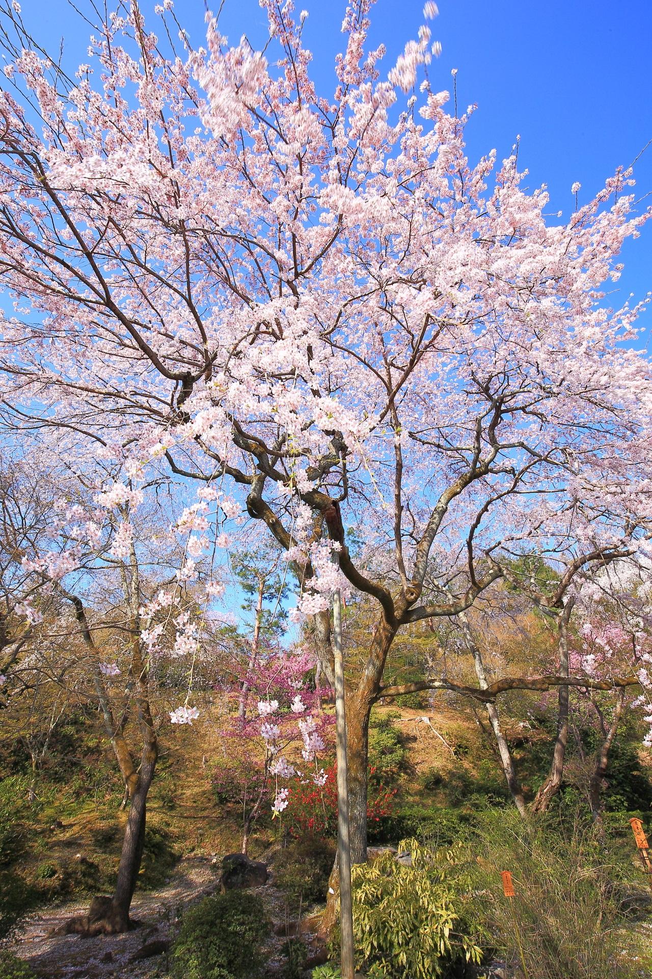天龍寺の望京の丘の麓で弾けるしだれ桜