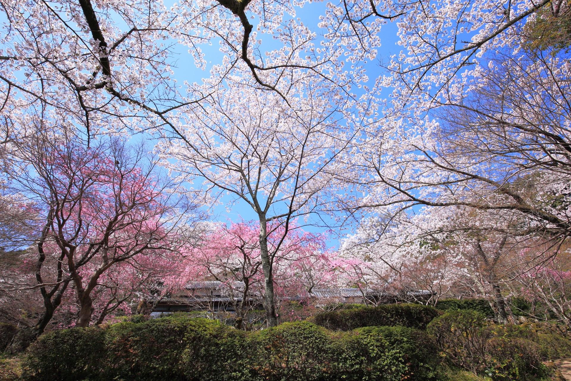 桜ヶ丘の下の方から見上げたピンクと白の桜の天井
