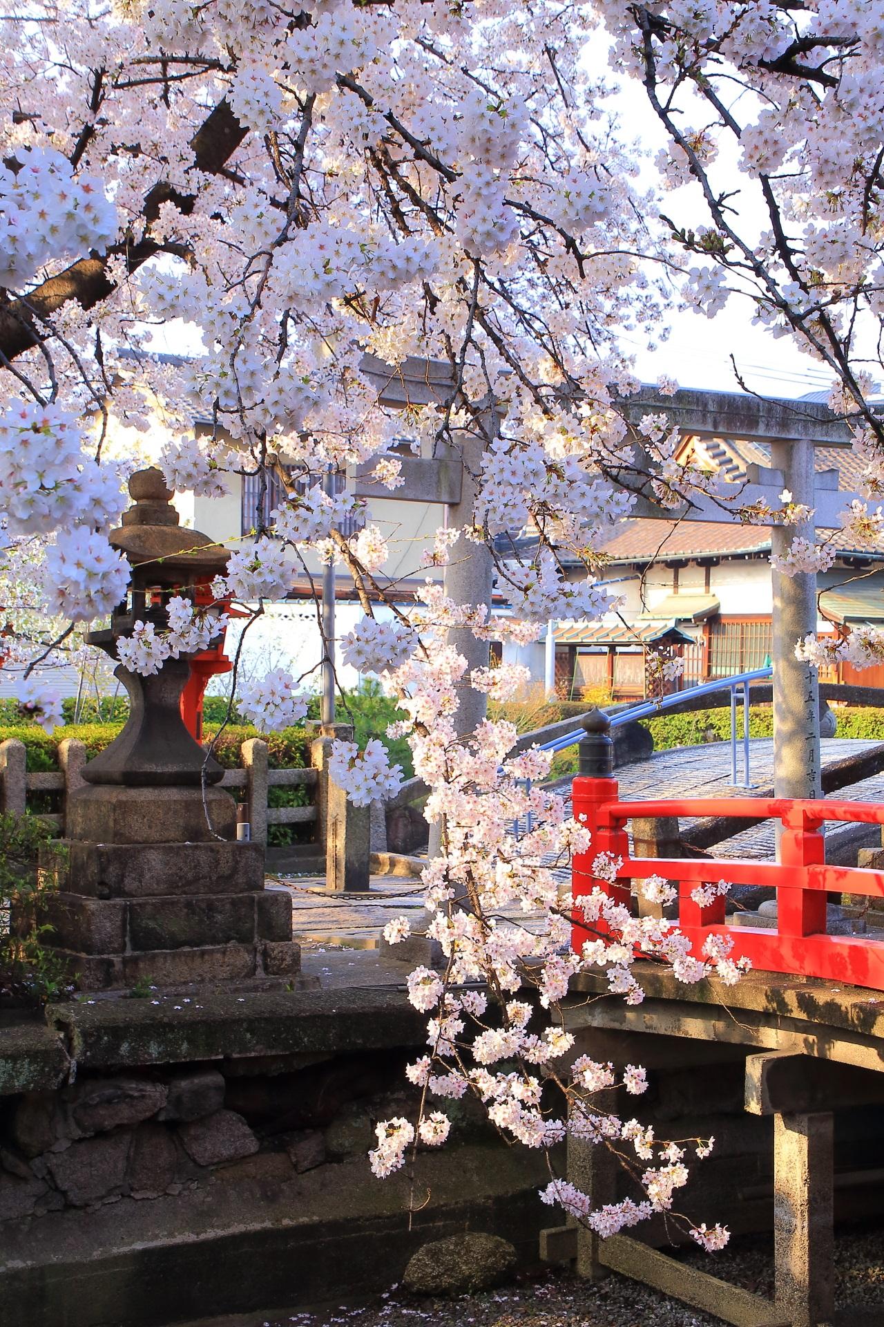 六孫王神社の池に枝垂れる華やかな桜