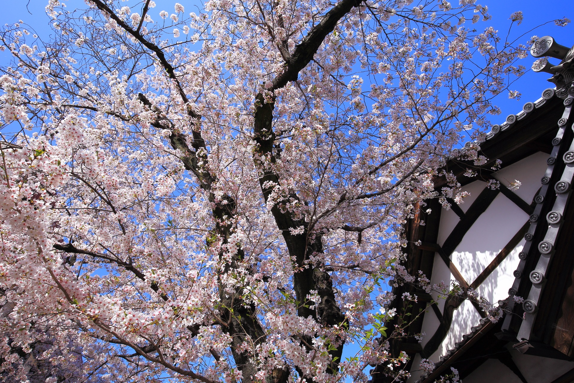 墨染寺の咲き乱れる桜