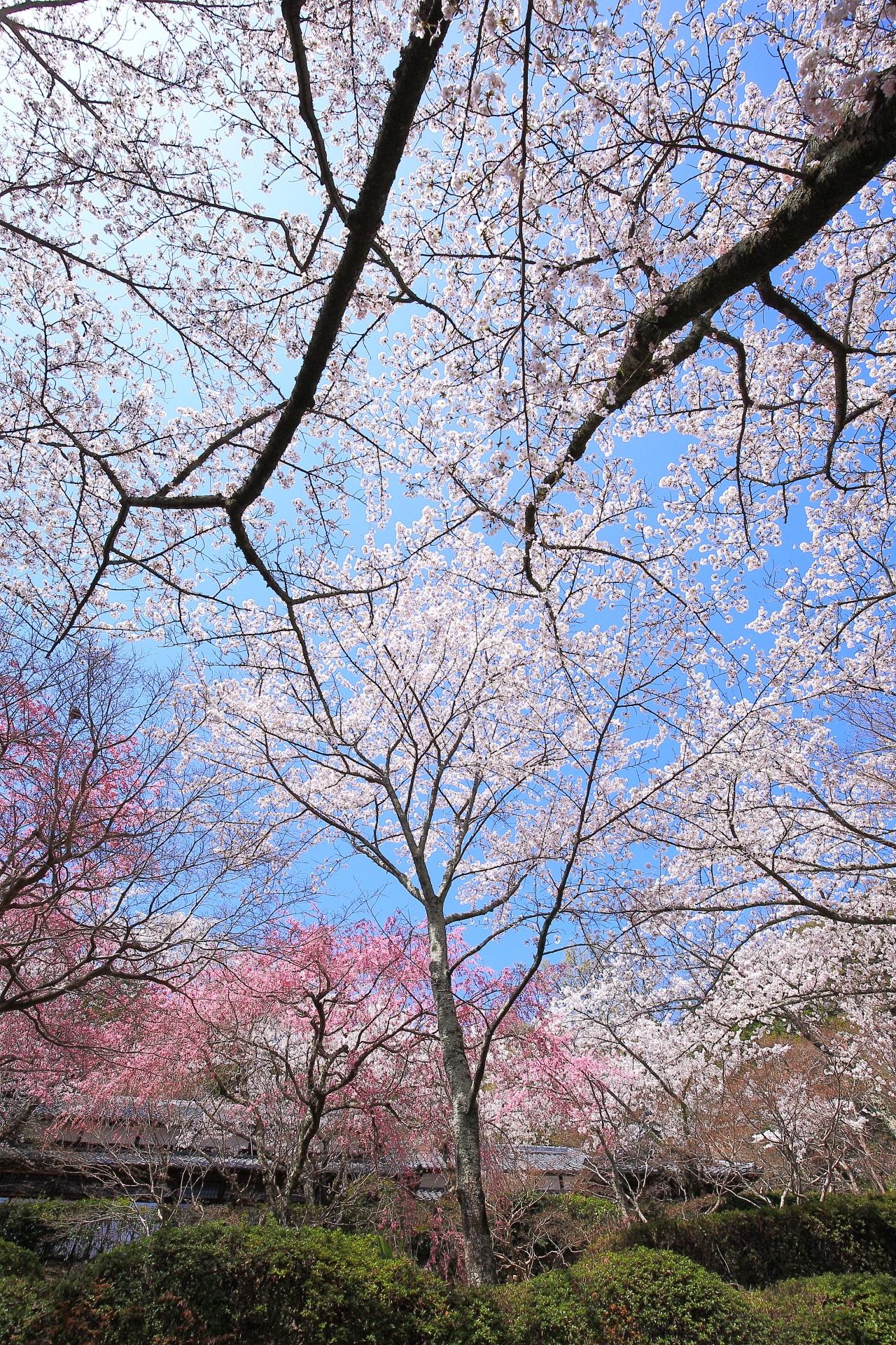 勝持寺の青空を彩る白とピンクの桜
