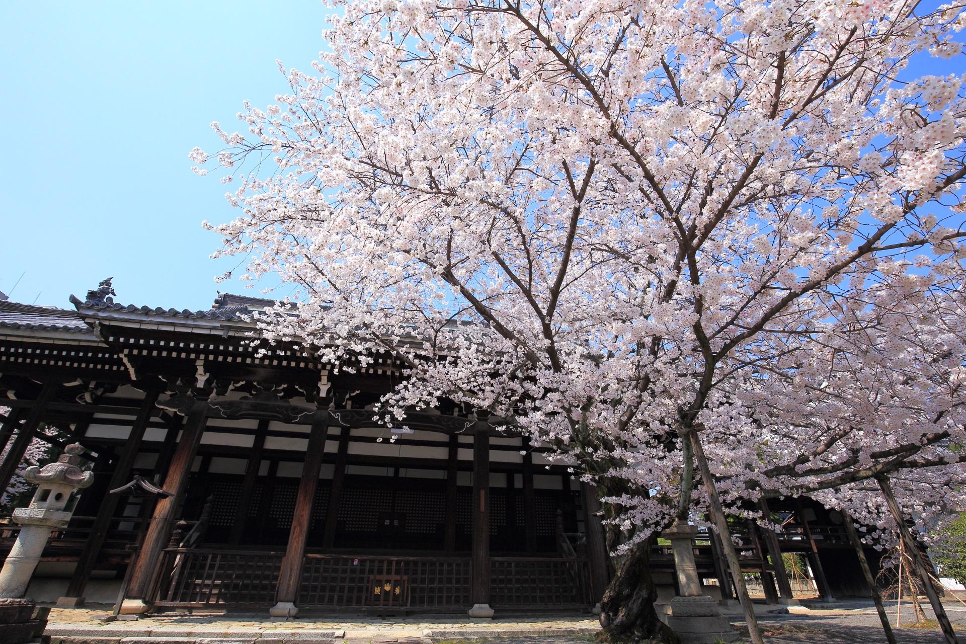 快晴の青空を覆う豪快で上品な本法寺の桜