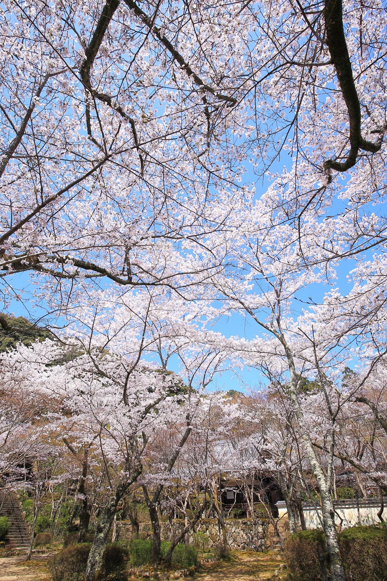 勝持寺の阿弥陀堂や不動堂を彩る桜