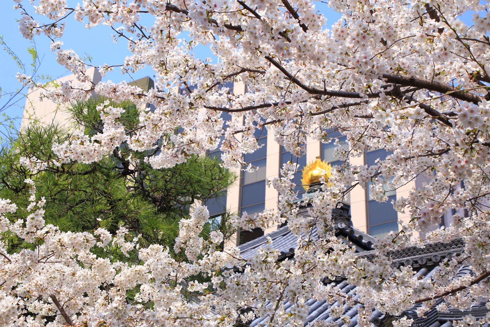 六角堂の本堂と桜