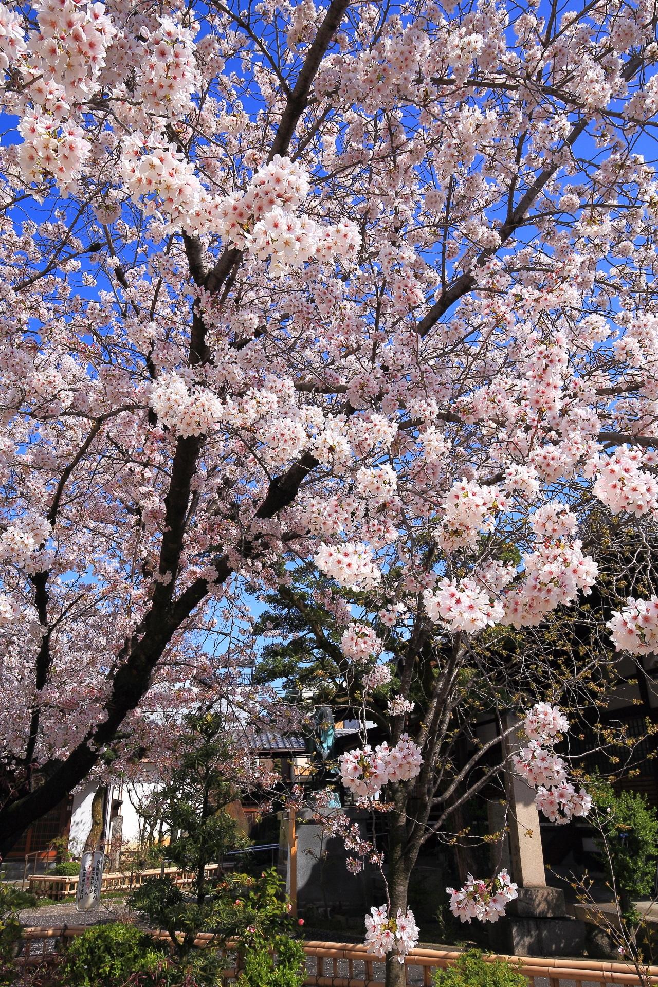 墨染寺のこぼれ落ちんばかりに咲き誇る墨染桜