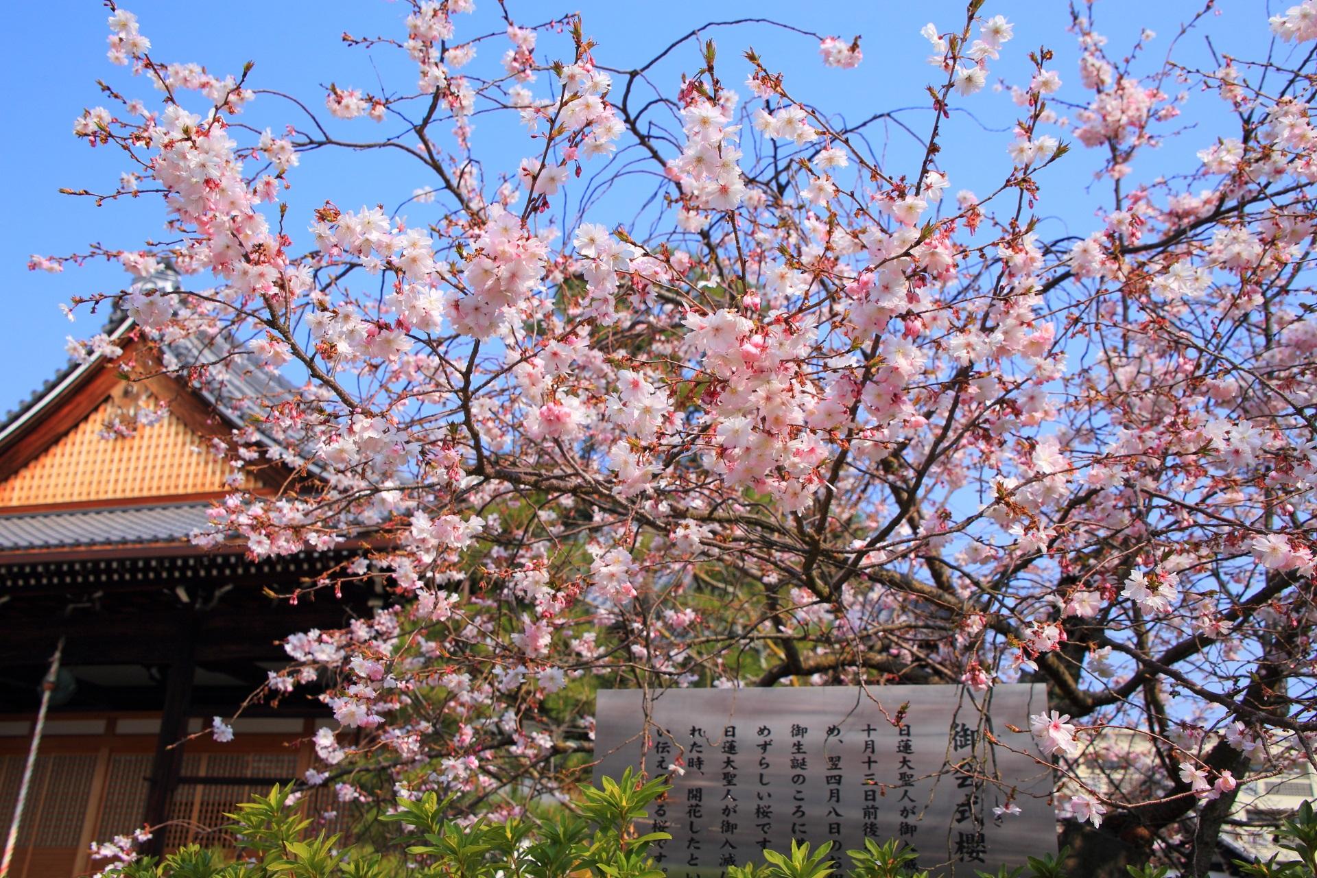 妙蓮寺の素晴らしい御会式桜と春の情景