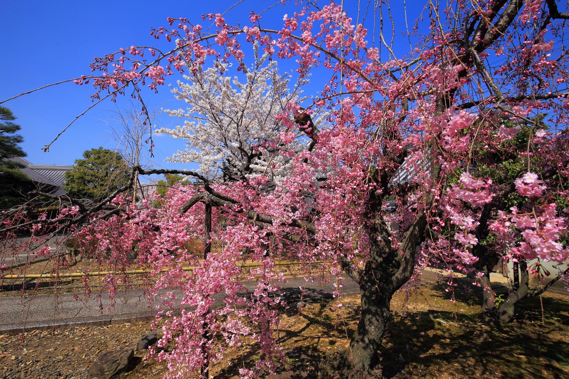 上品蓮台寺のピンクと白の煌びやかな春色