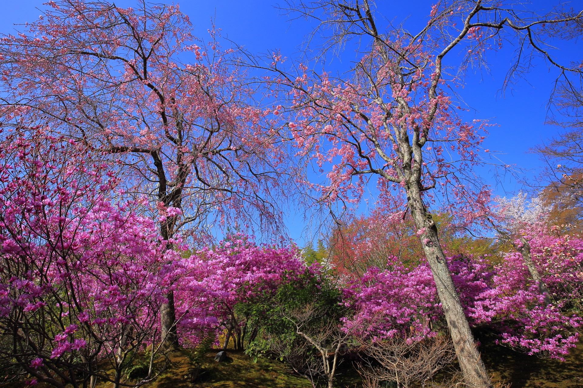 百花苑のしだれ桜とミツバツツジ