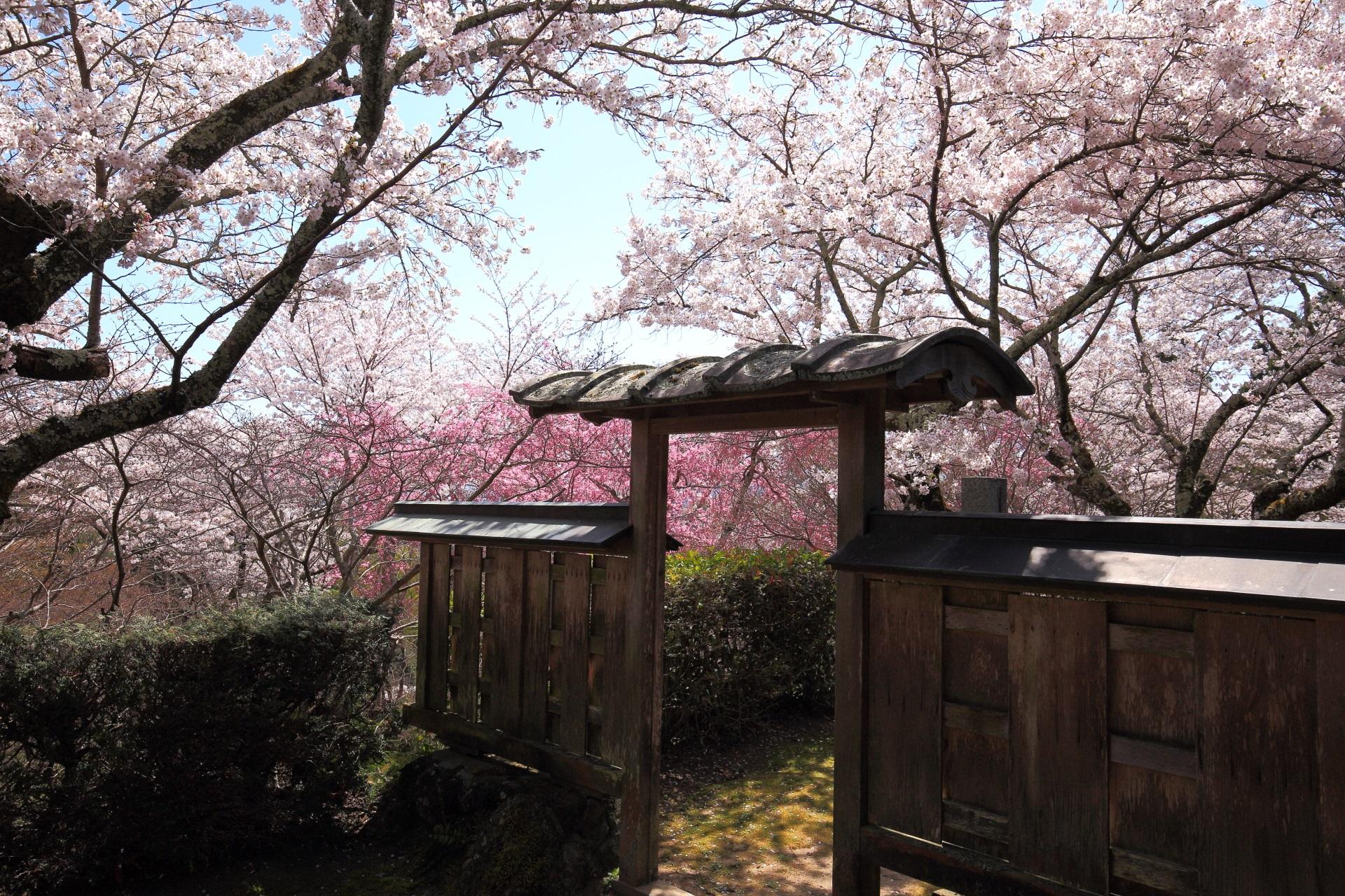 桜ヶ丘の趣きある桜