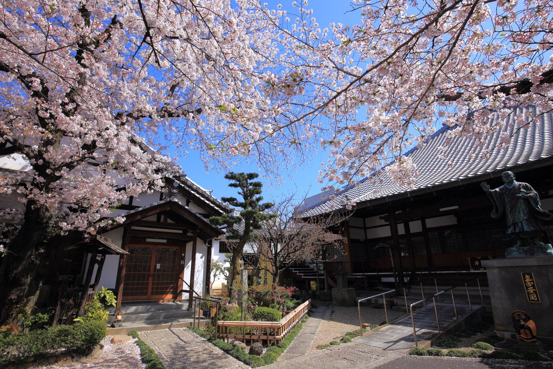 墨染寺の本堂や庫裡前のソメイヨシノ