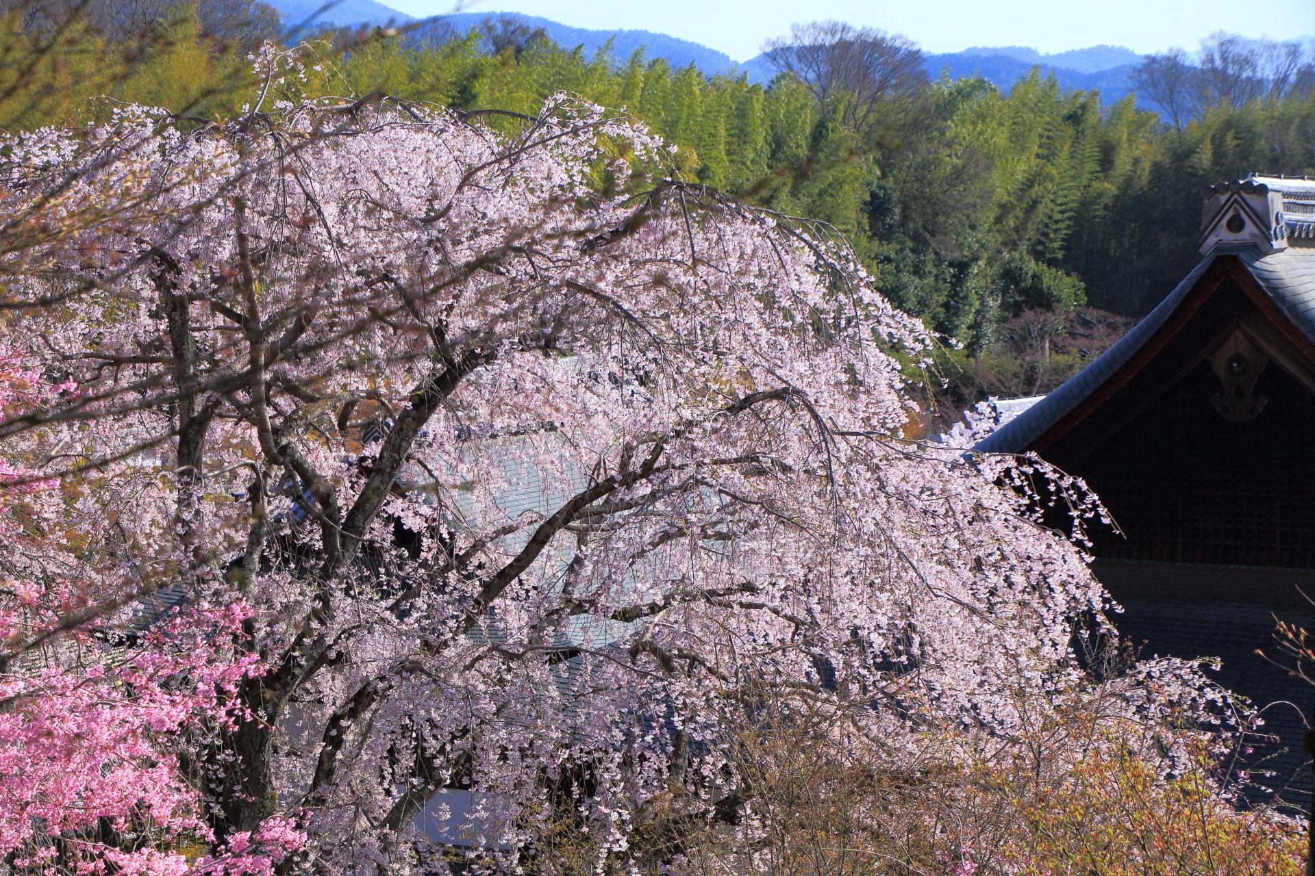 天龍寺の伽藍を染める華やかな桜