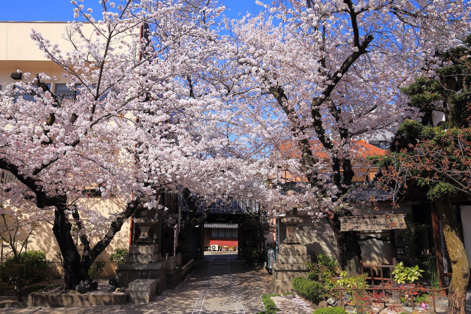 墨染寺の山門付近の極上の桜