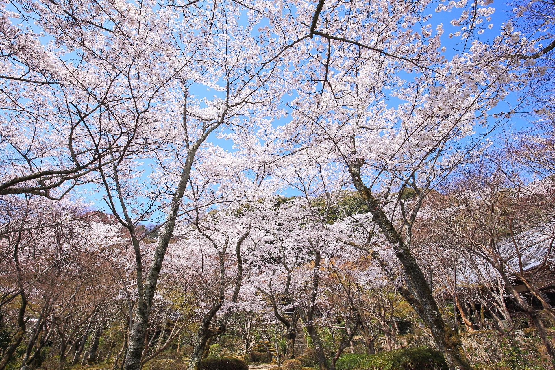 勝持寺の伽藍を染める絶品の桜