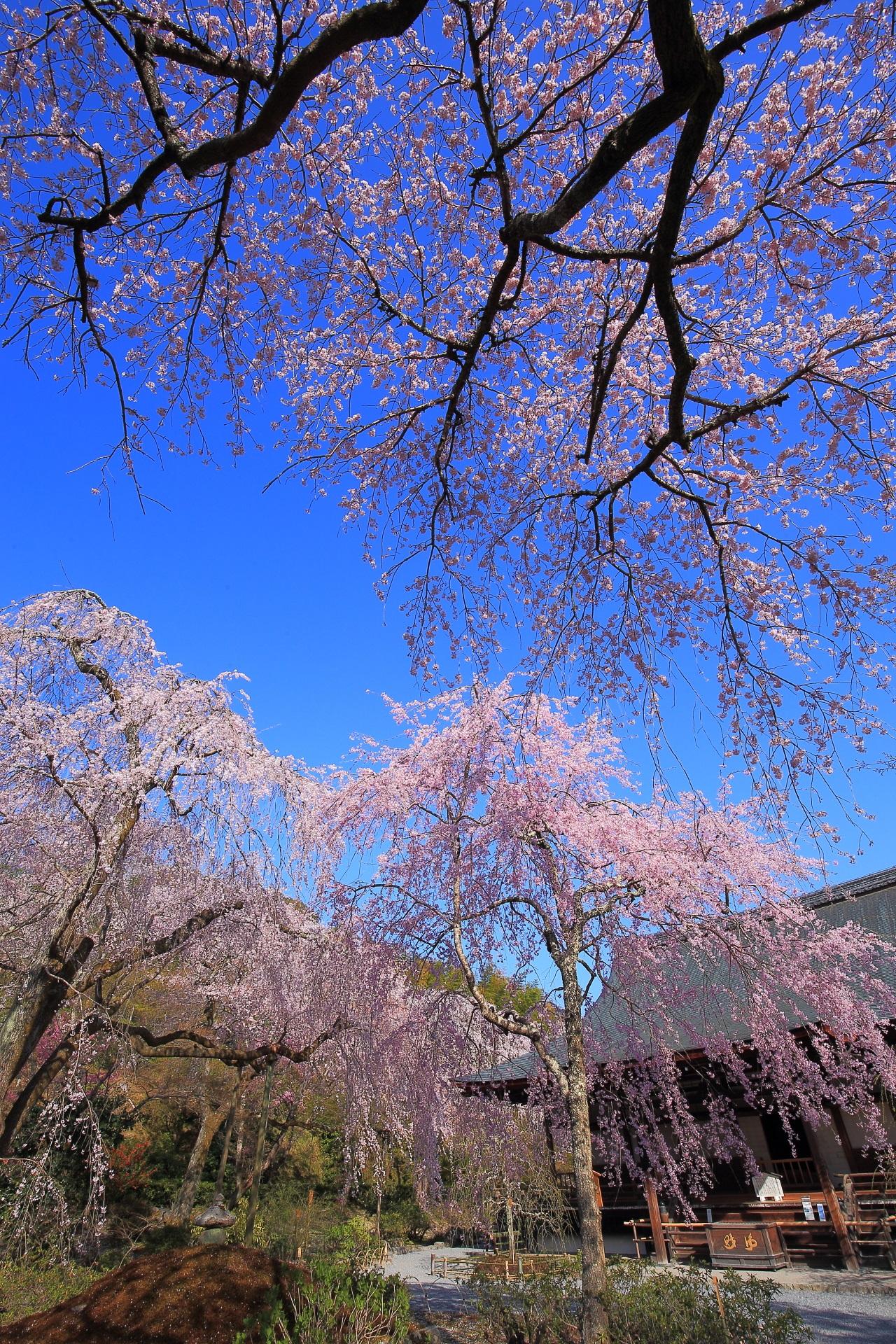 天龍寺の素晴らしい桜と春の情景