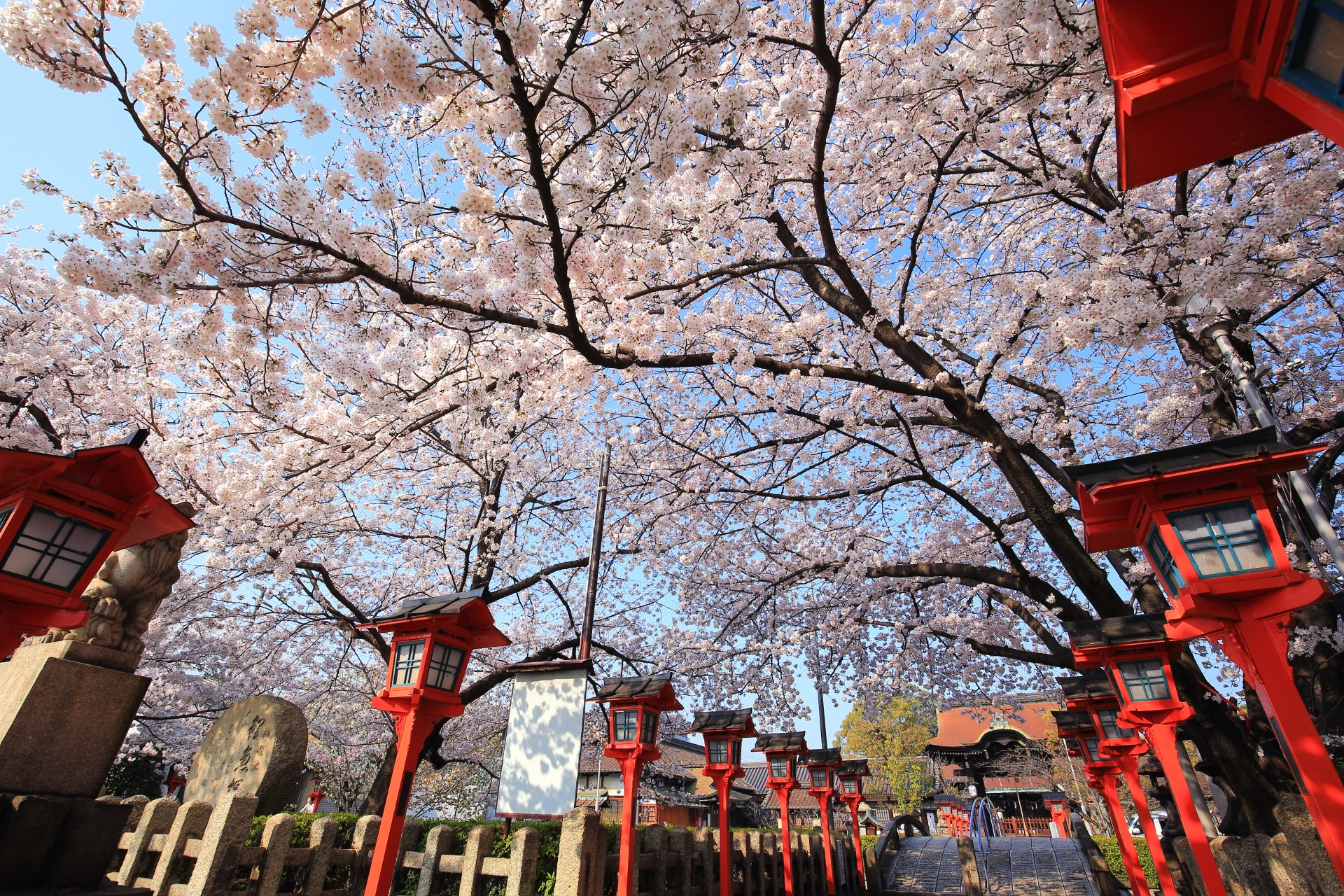 六孫王神社の唐門や本殿へ続く参道をつつむ桜