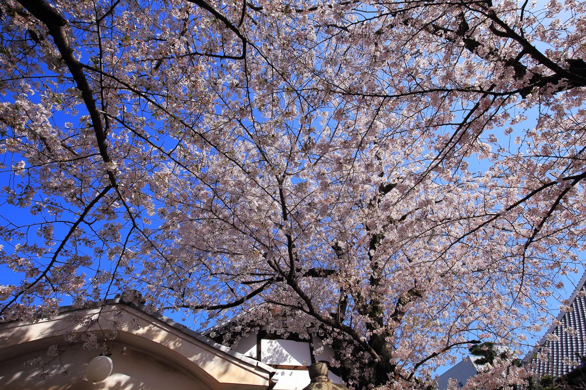 墨染寺の桜の天井