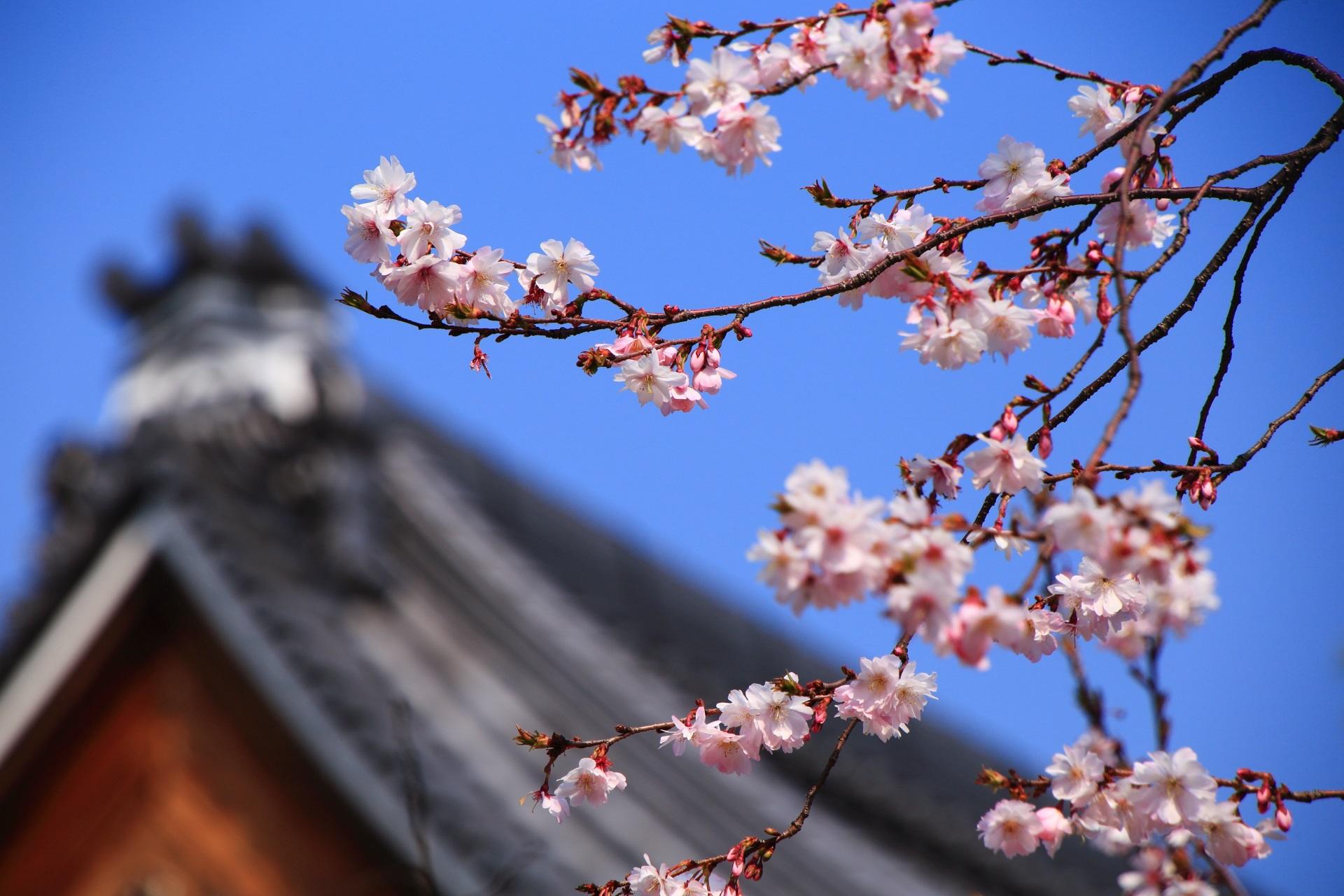 青空に映える可愛いピンクや白の御会式桜