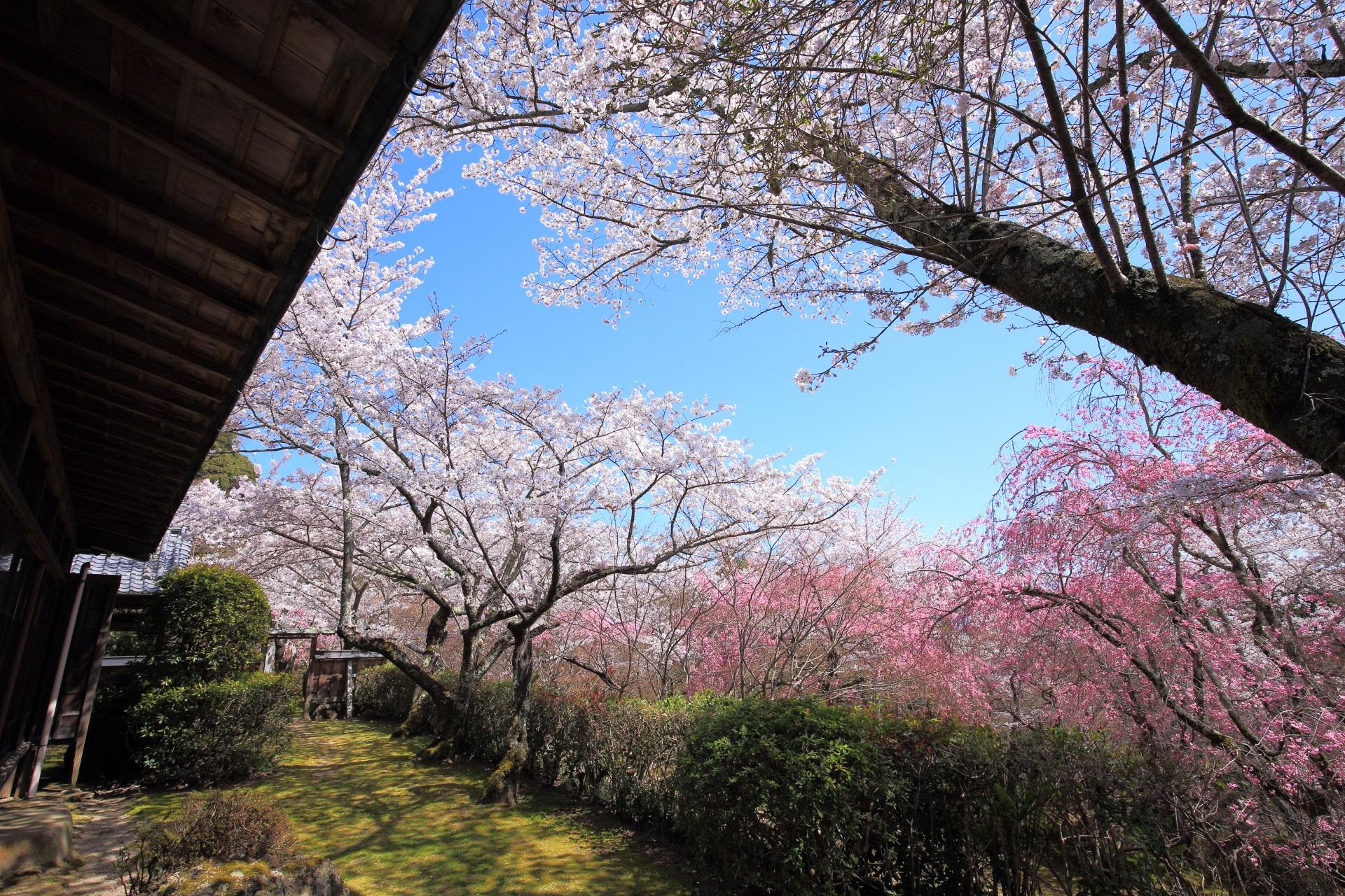 勝持寺の桜ヶ丘の上から眺めた桜