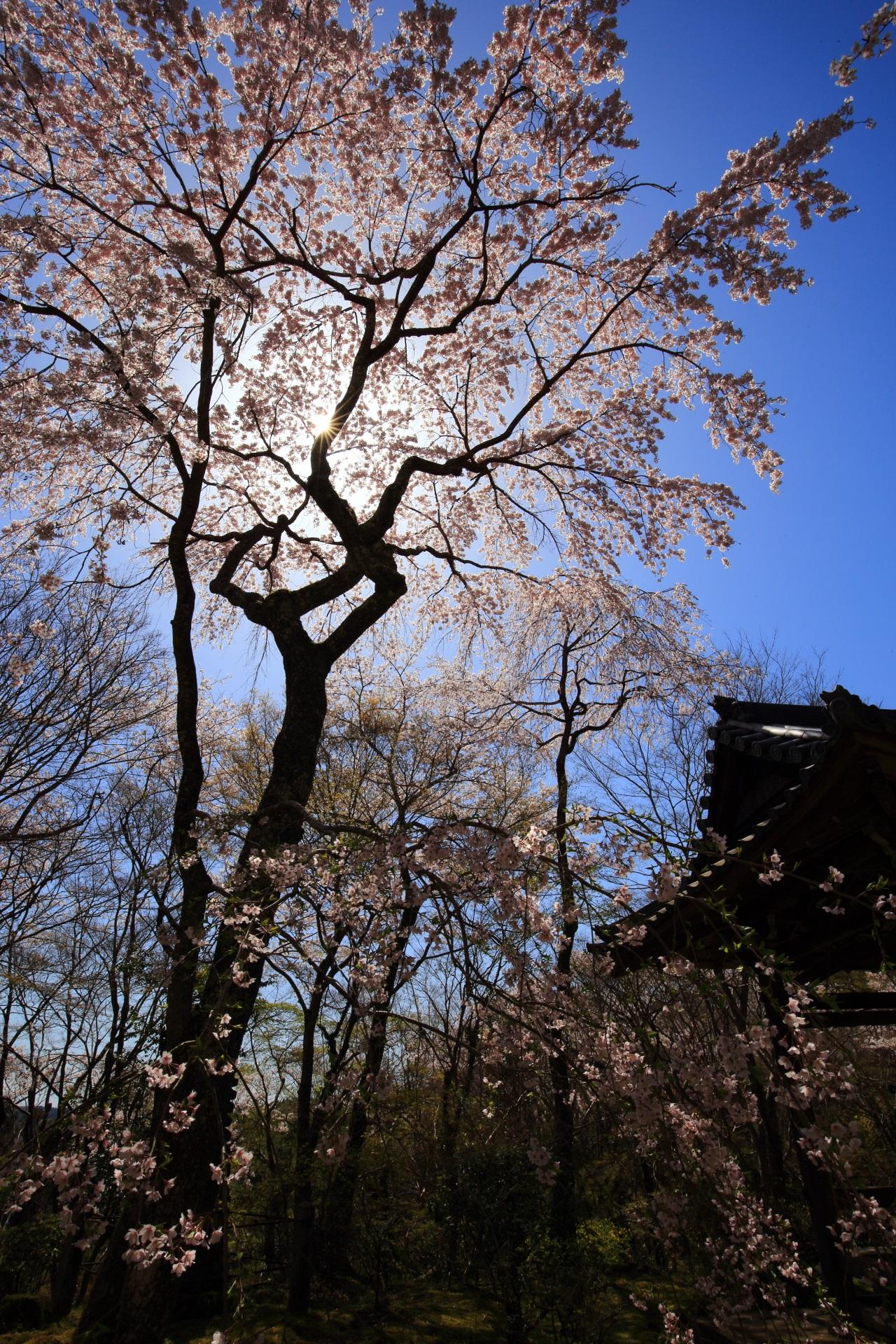 青空に写る西行桜のシルエットと太陽
