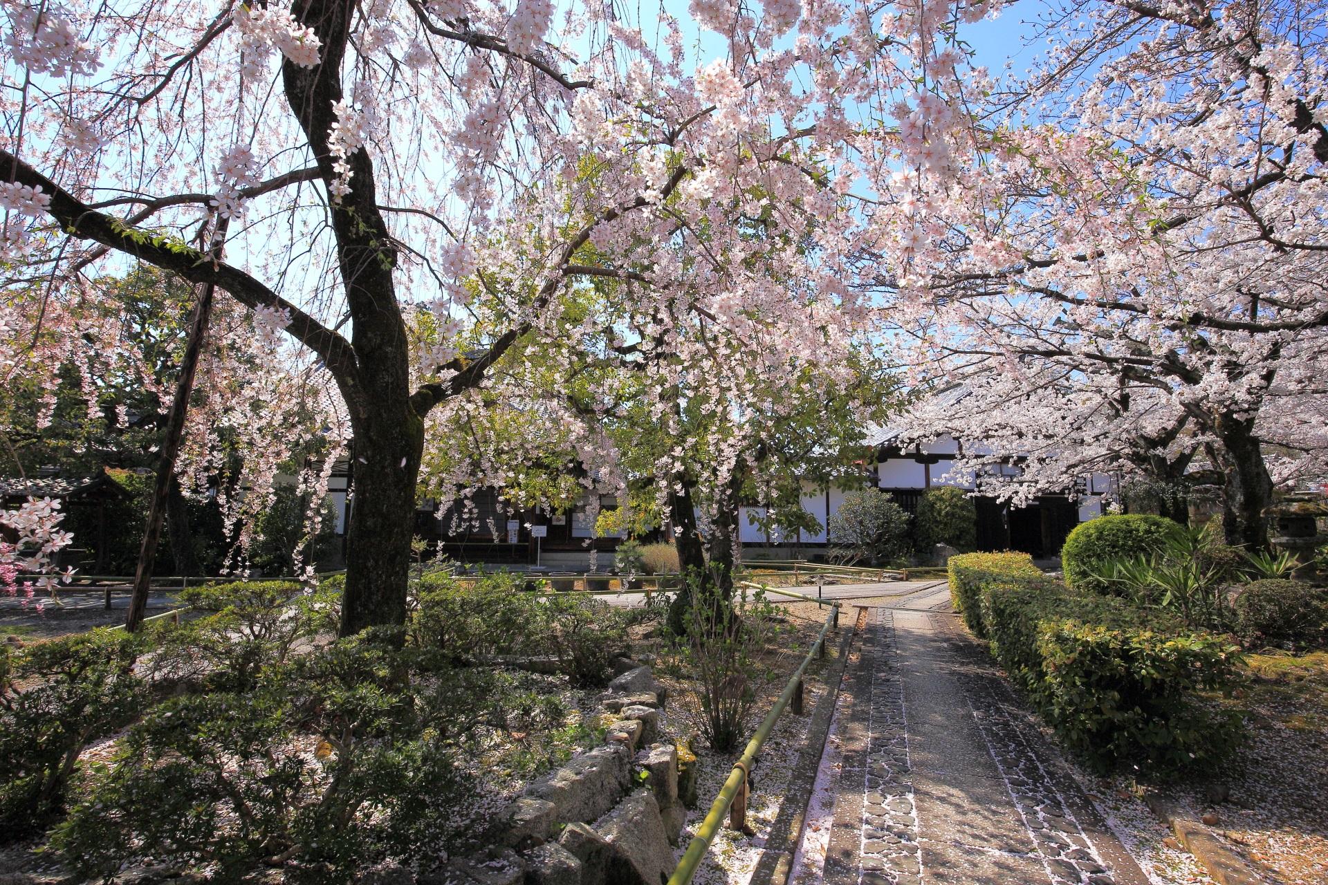 上品蓮台寺の山門前の早咲きのしだれ桜