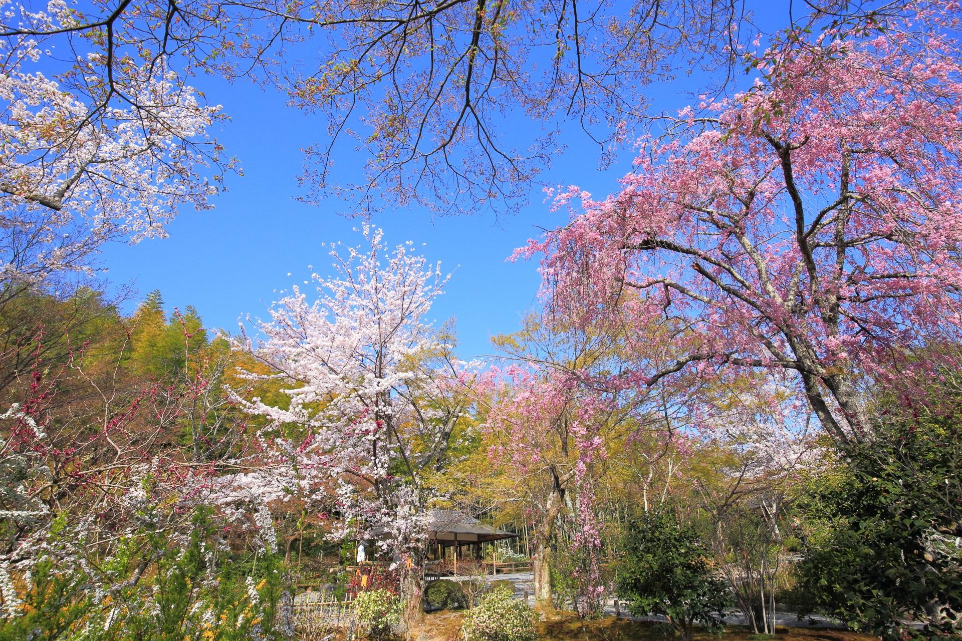 天龍寺の百花苑の桜