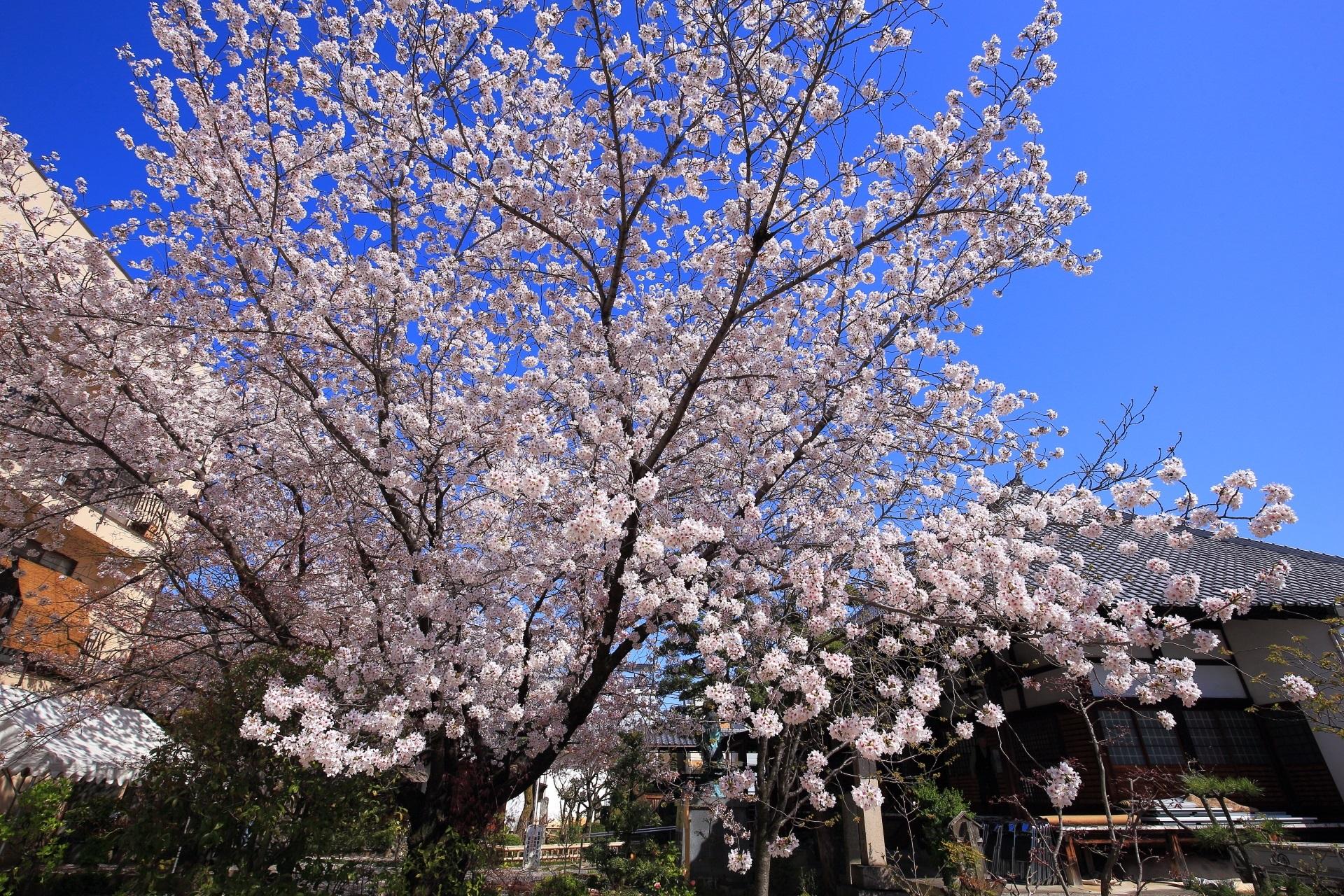 雲一つない青空の下で煌く墨染桜