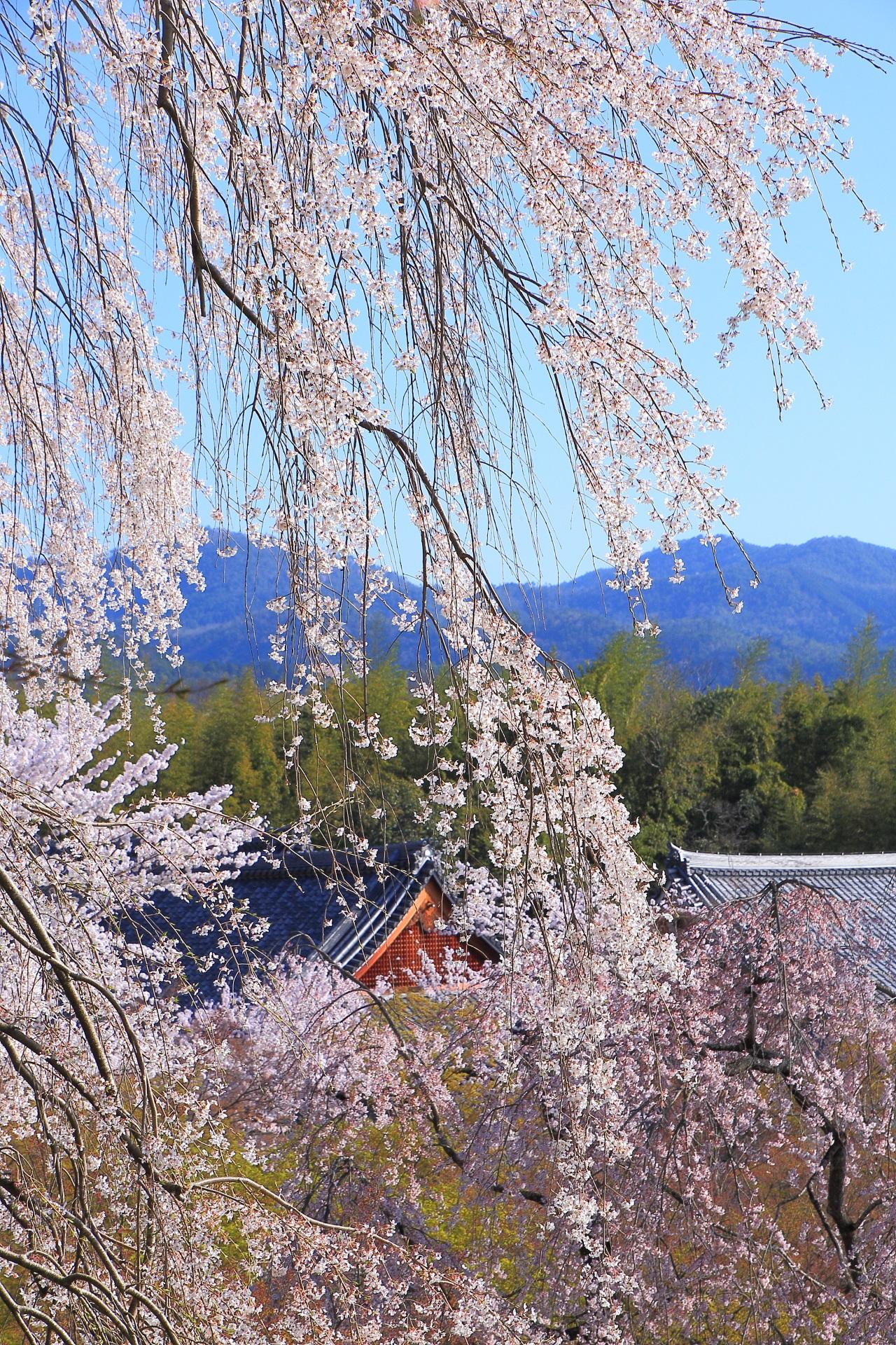 天龍寺の百花苑や伽藍に降り注ぐ望京の丘のしだれ桜