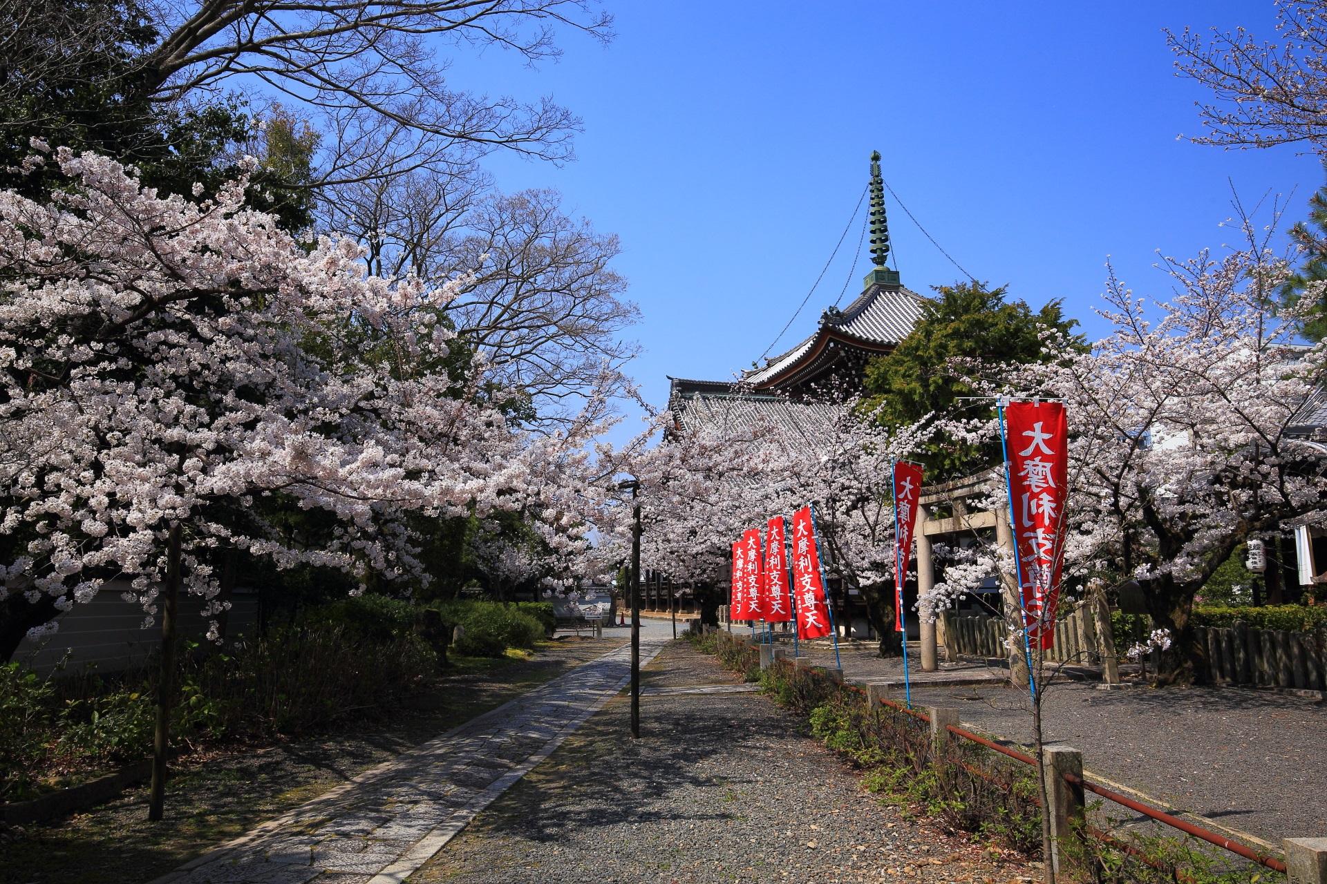 本法寺の仁王門から多宝塔にかけての桜