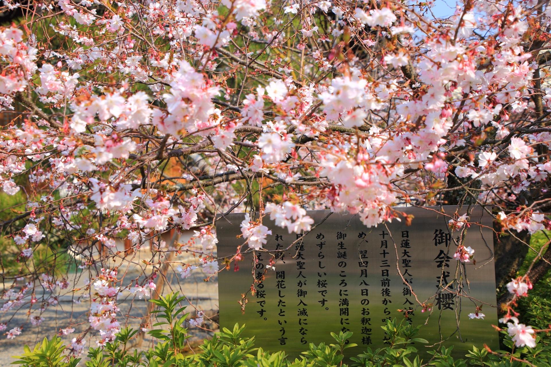 妙蓮寺の御会式桜の説明と満開の花